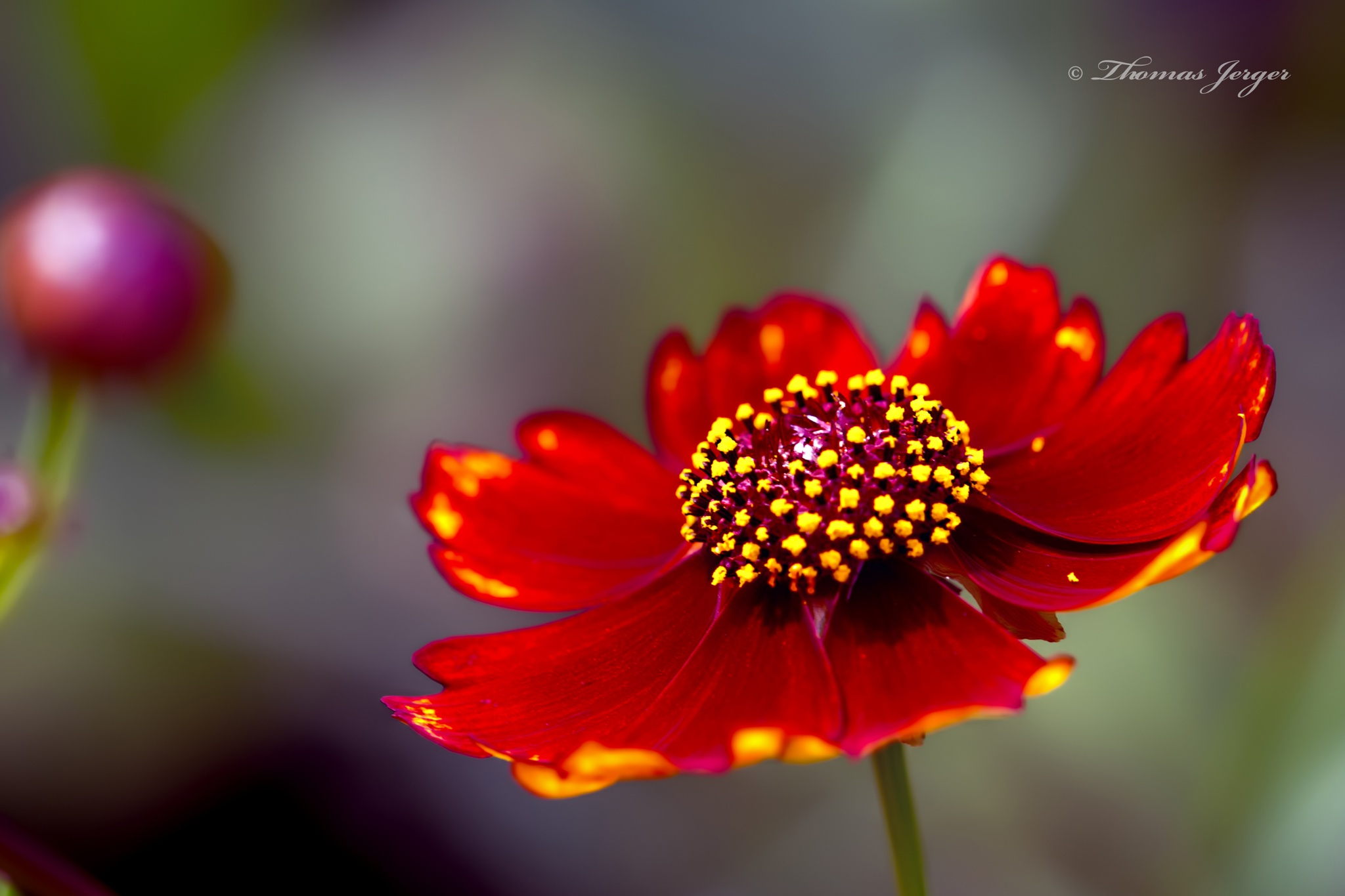 Red Coreopsis 0424 by ThomasJerger
