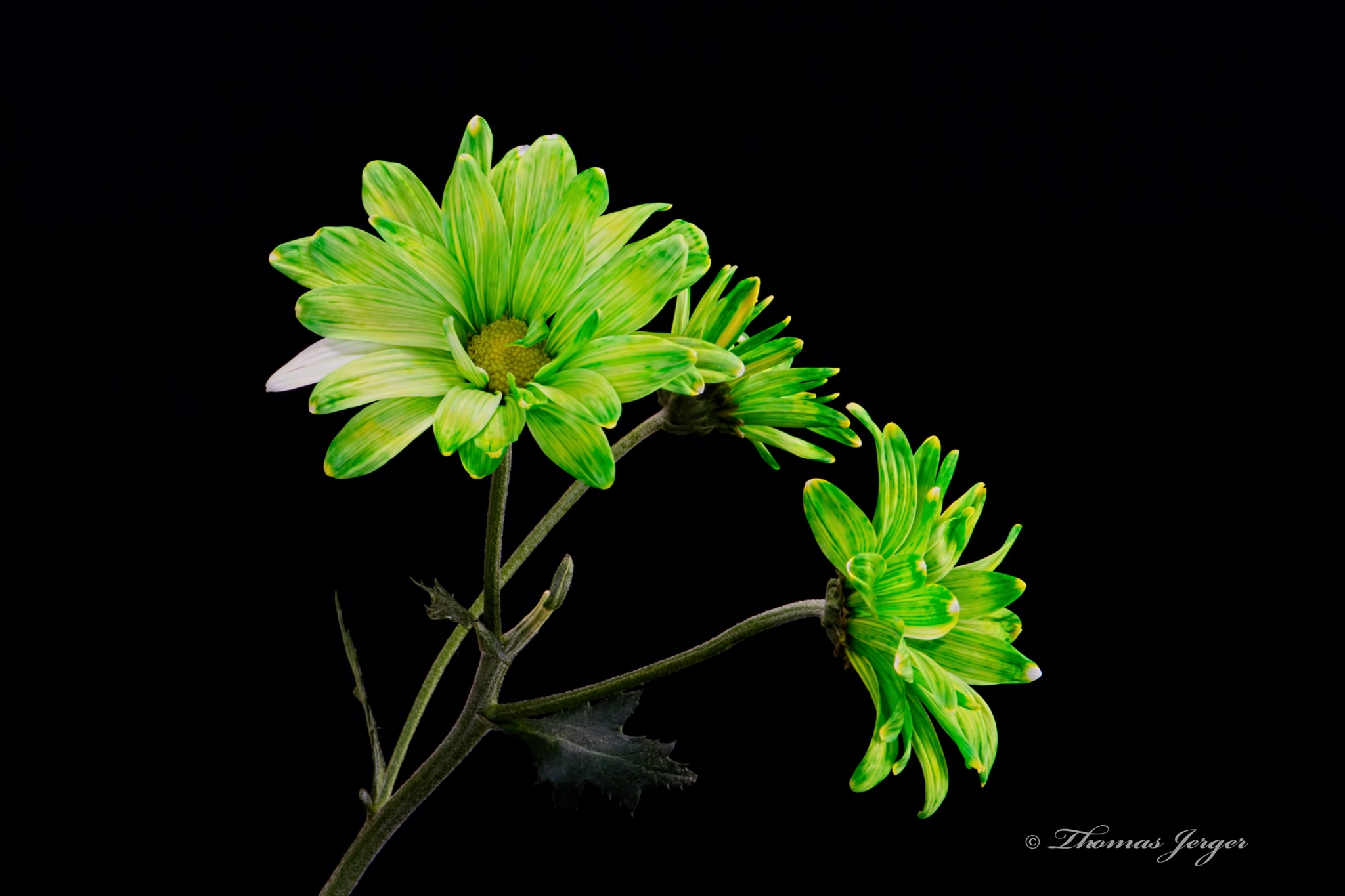 Green Trio 0305 by ThomasJerger