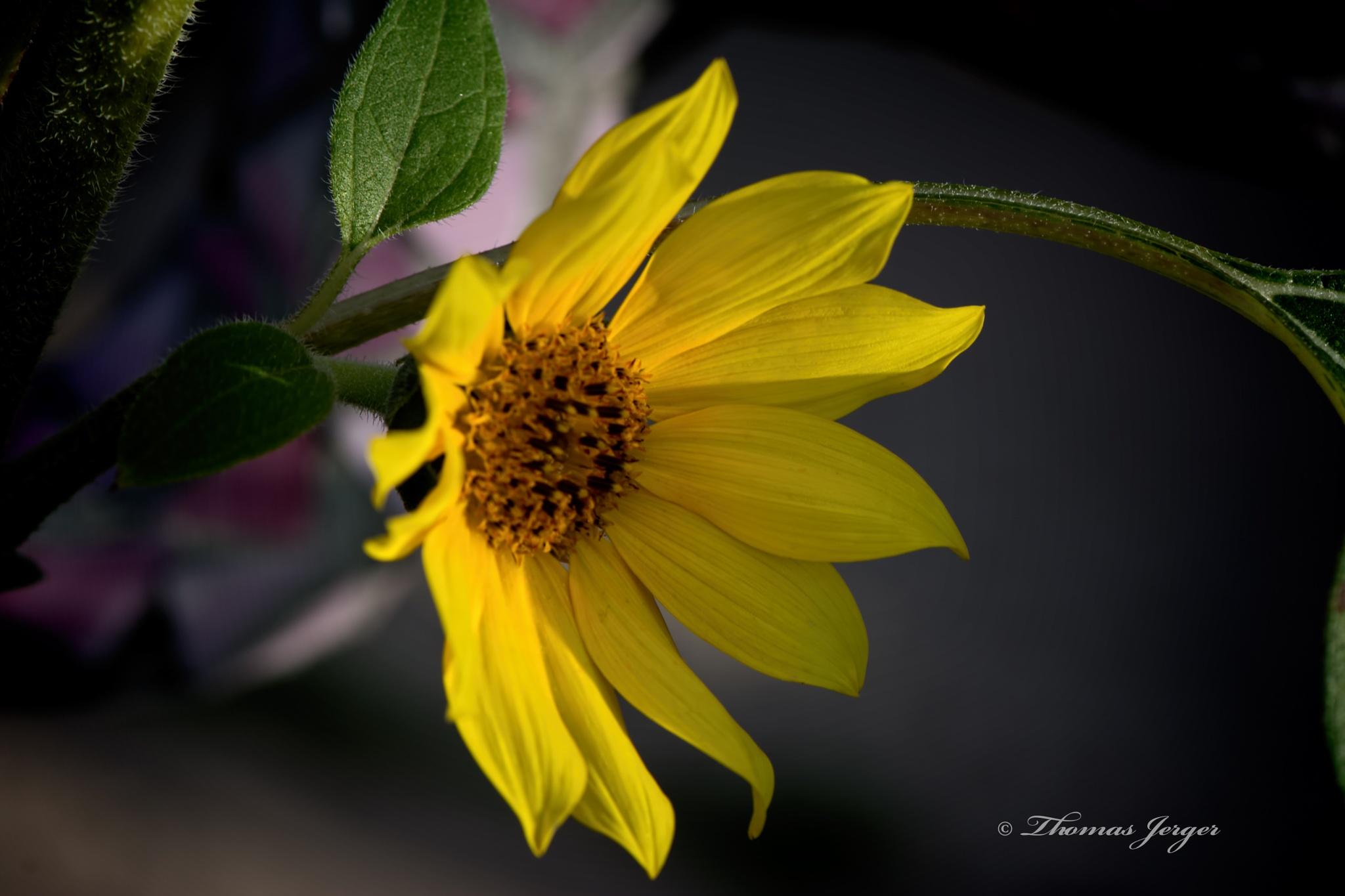 Yellow Sunflower Opening 1030 by ThomasJerger