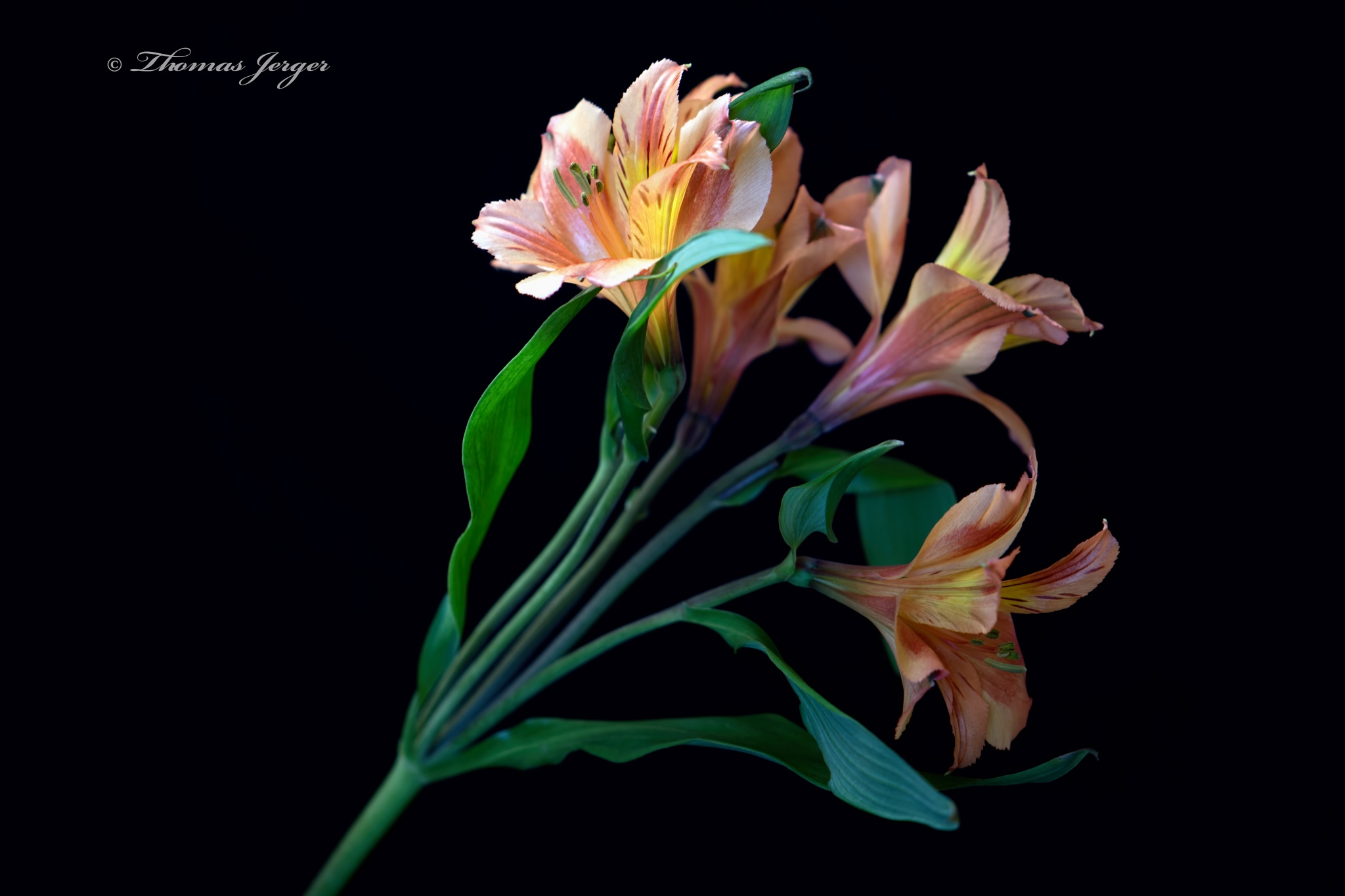 Photo in Nature #flower #bloom #astroemeria #petals #stem #leaves #plant #nature #flora #green #orange #black #yellow #fall #wisconsin #macro #closeup