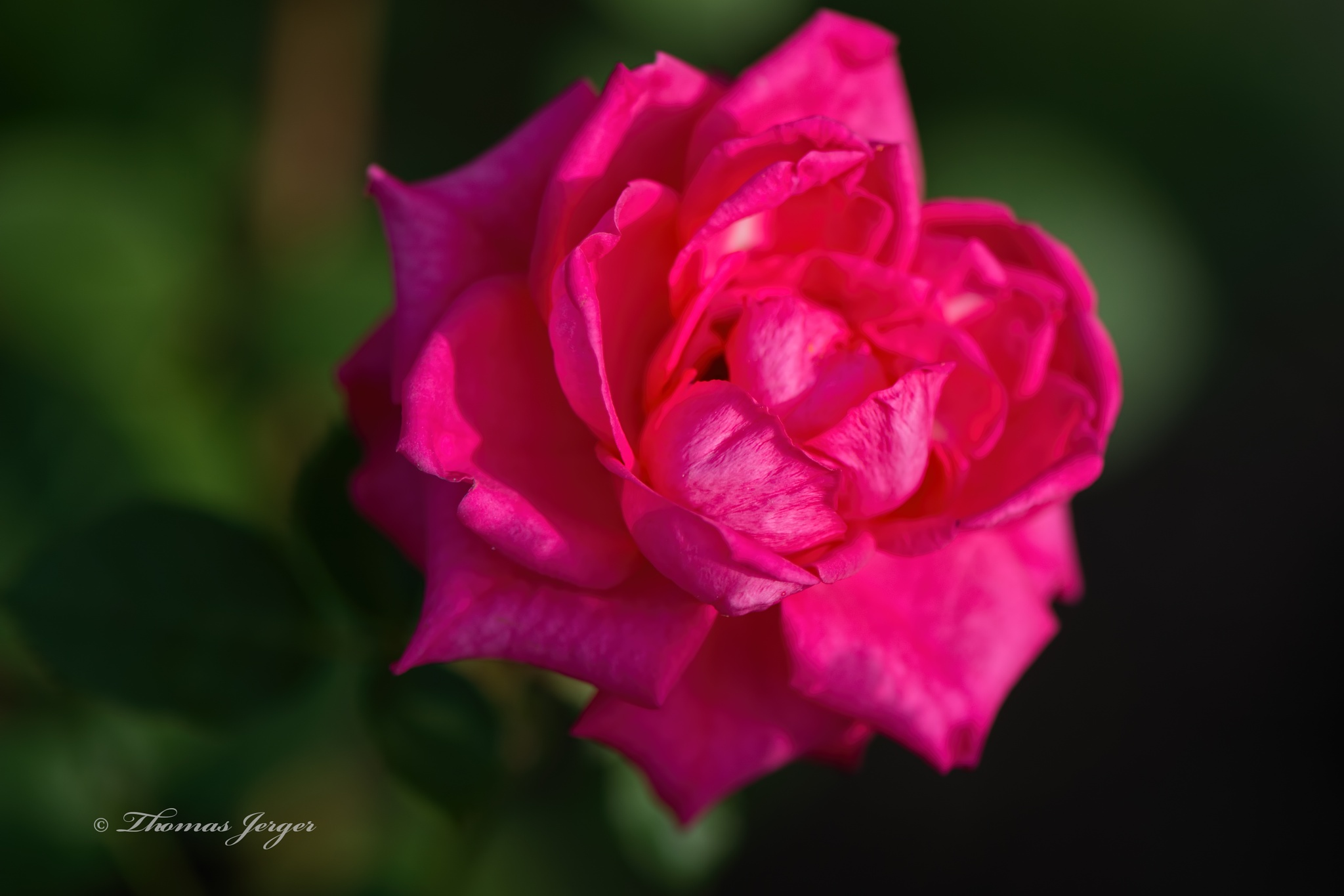 Fall Rose 1015 by ThomasJerger