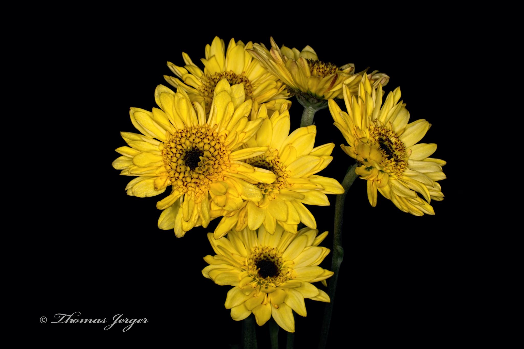 Photo in Nature #flower #bloom #petals #stem #plant #nature #flora #yellow #black #brown #black background #portrait