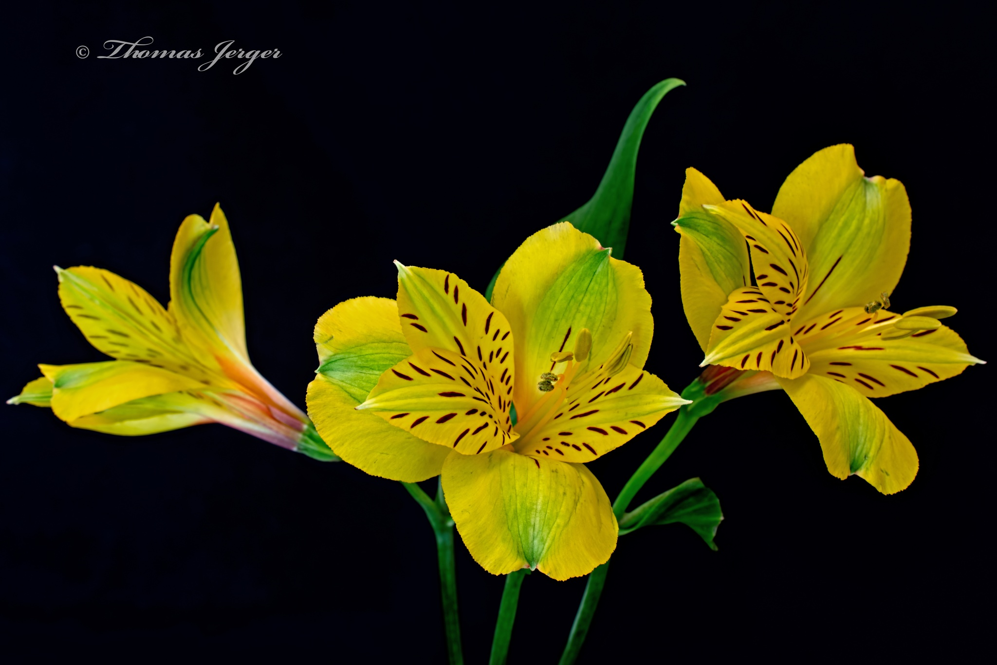 Yellow Alstroemeria Blooms 0106 by ThomasJerger