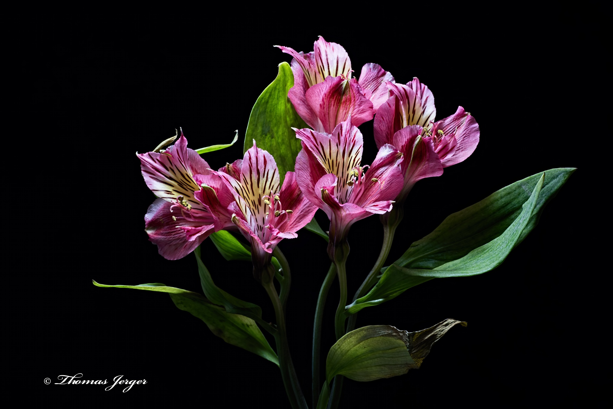 Alstroemeria Group 0324 by ThomasJerger