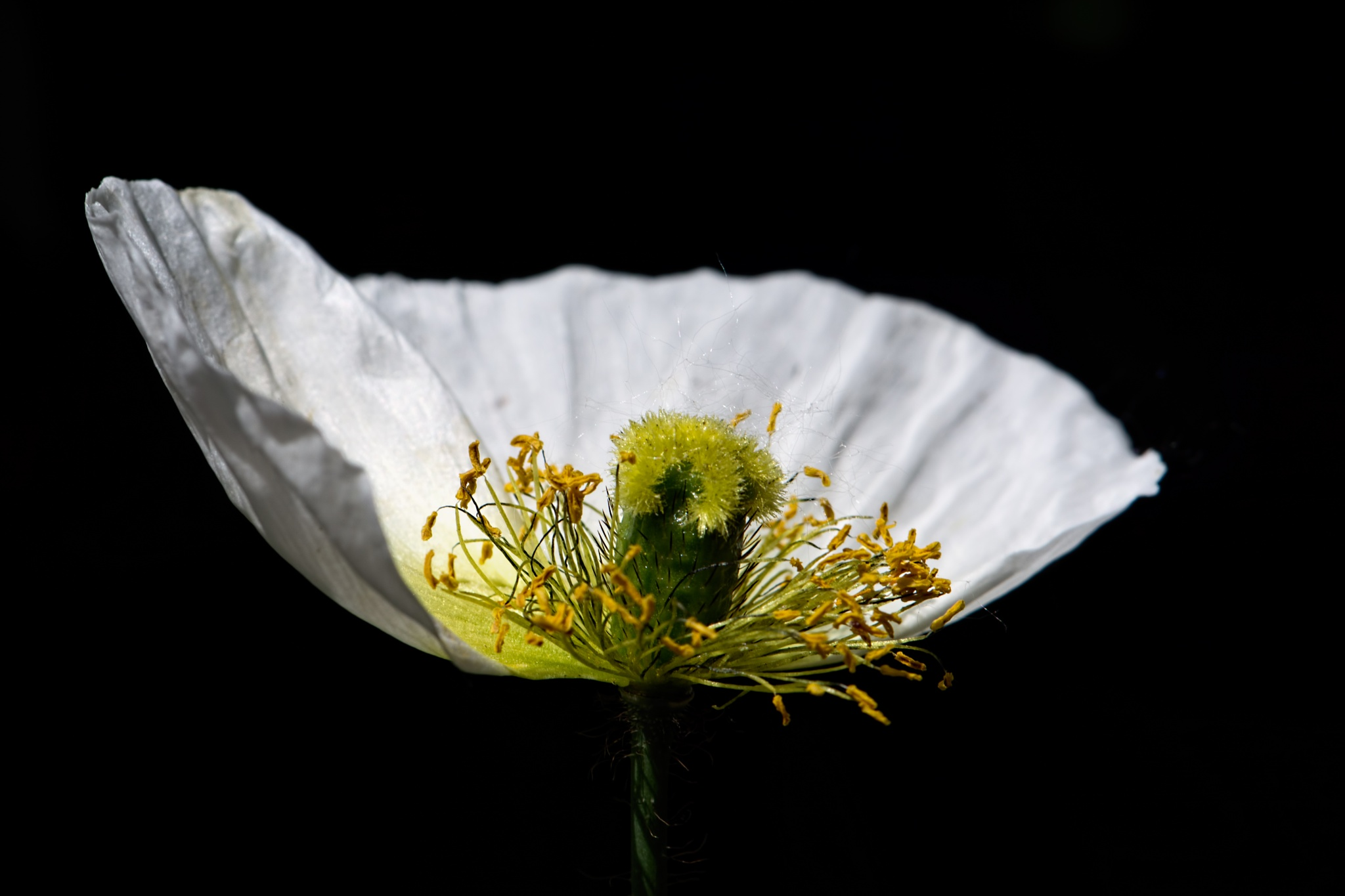 White Poppy Bisection 621 by ThomasJerger