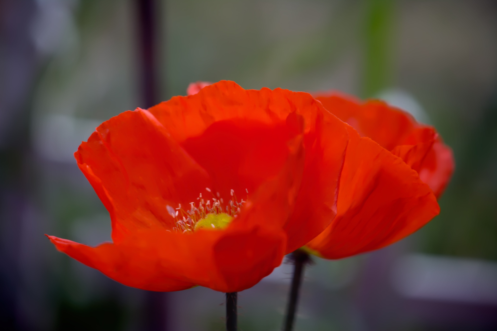 Red Poppys 721 by ThomasJerger