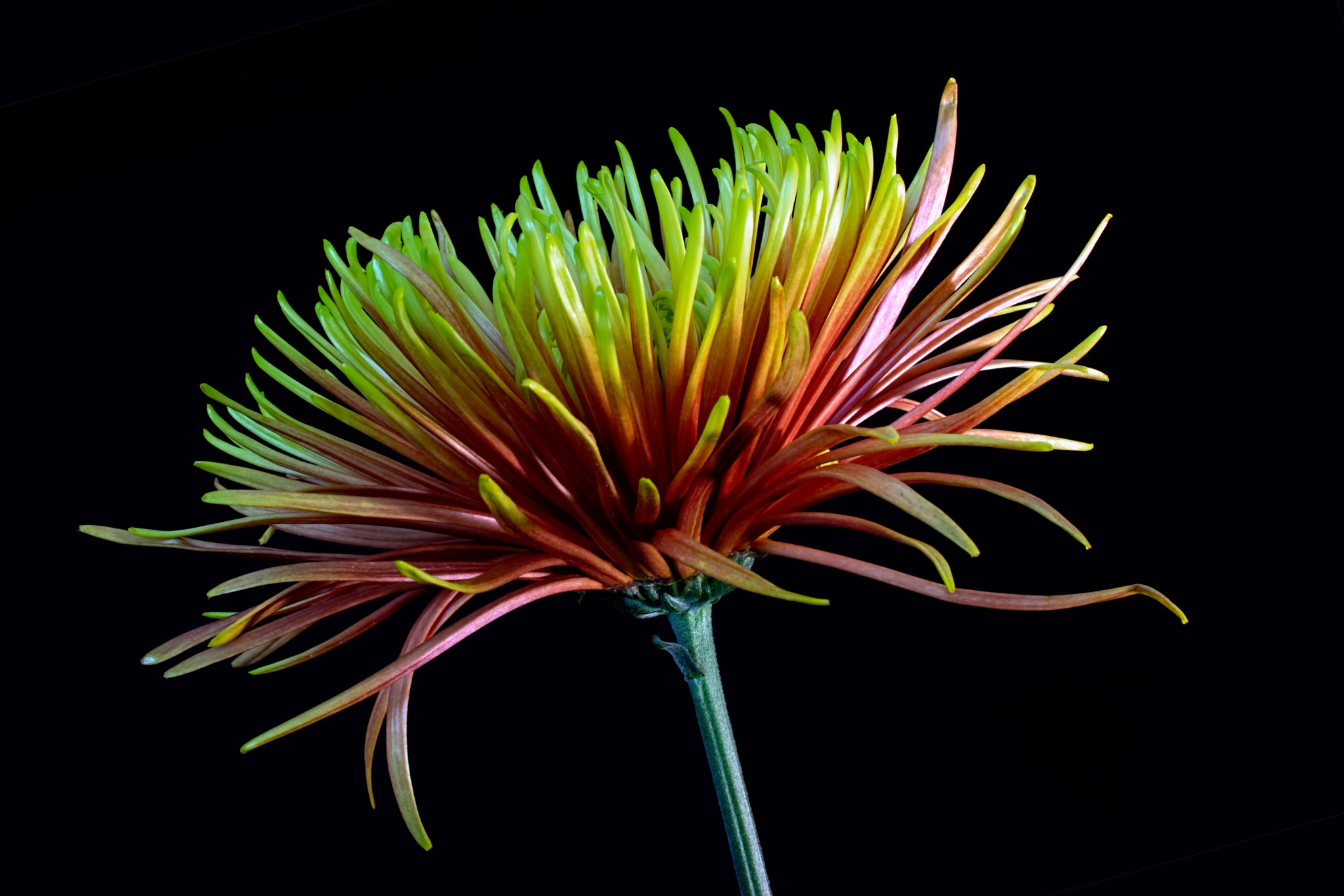 Colorful Bloom on Black 1105 by ThomasJerger