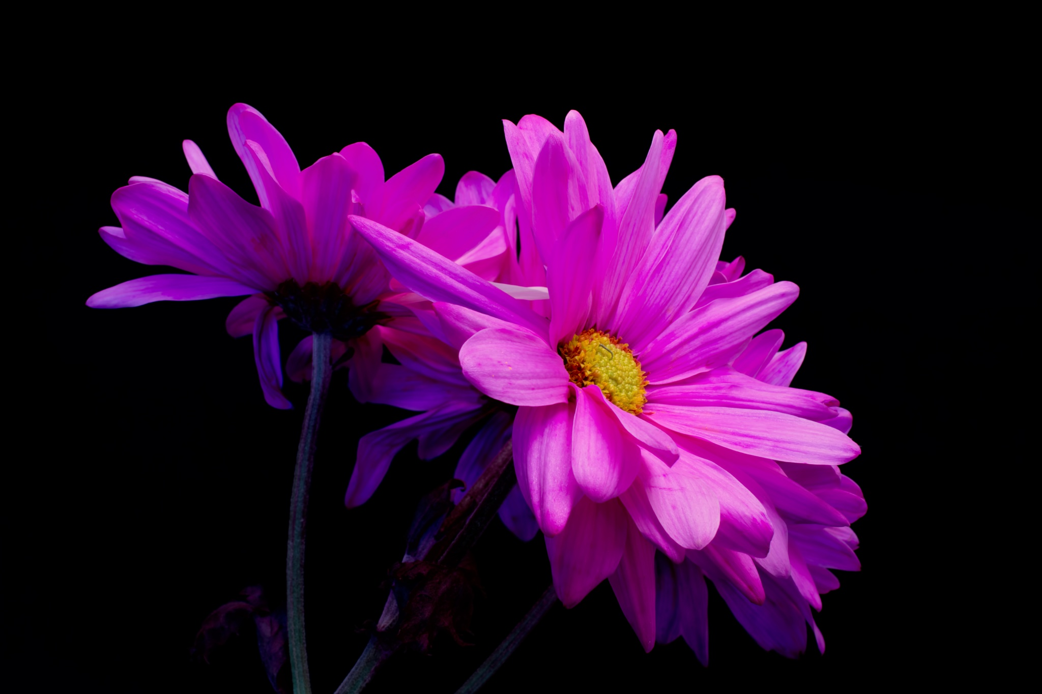 Deeply Pink 1217 by ThomasJerger