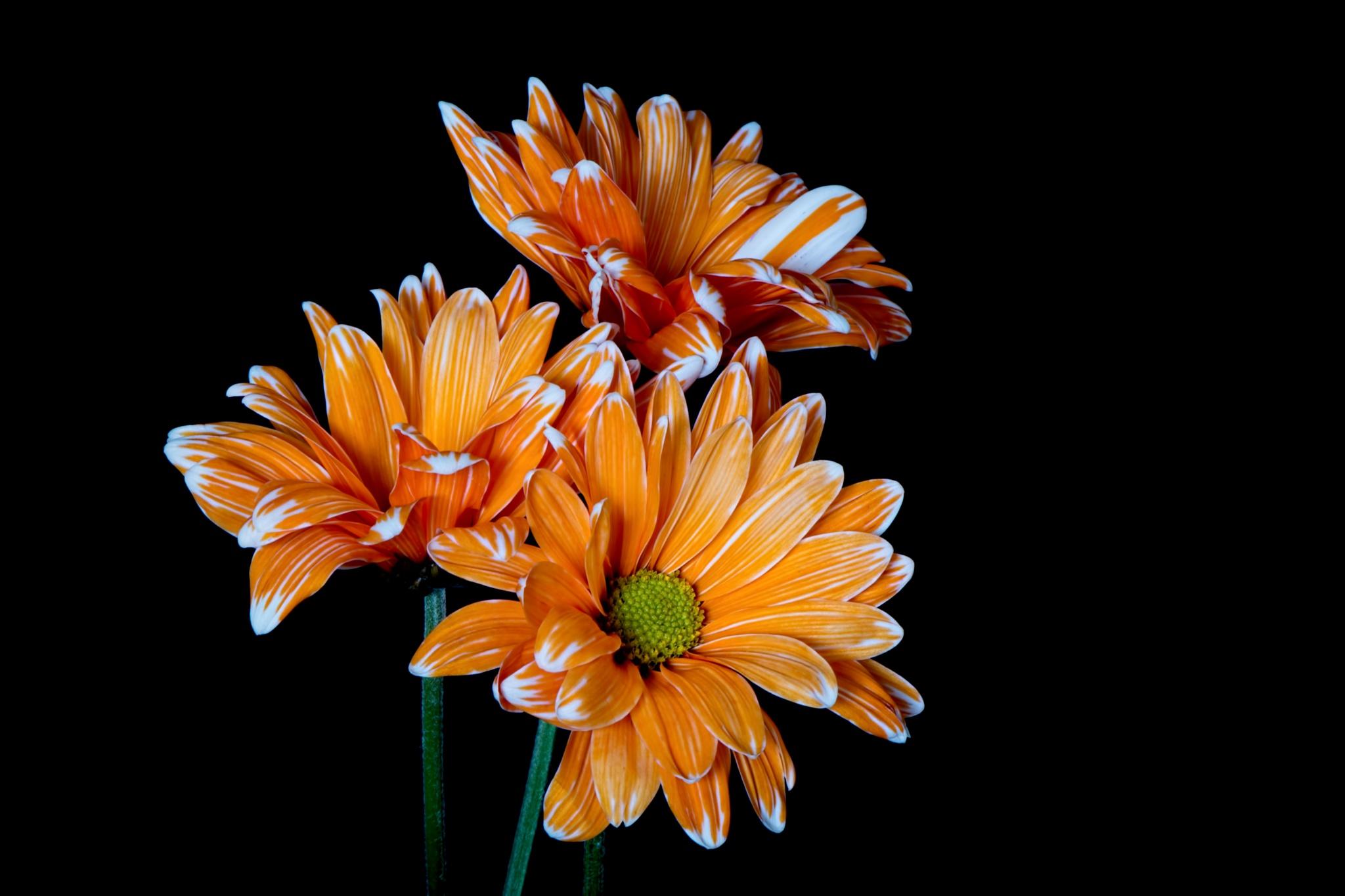 Orange White Trio 320 by ThomasJerger