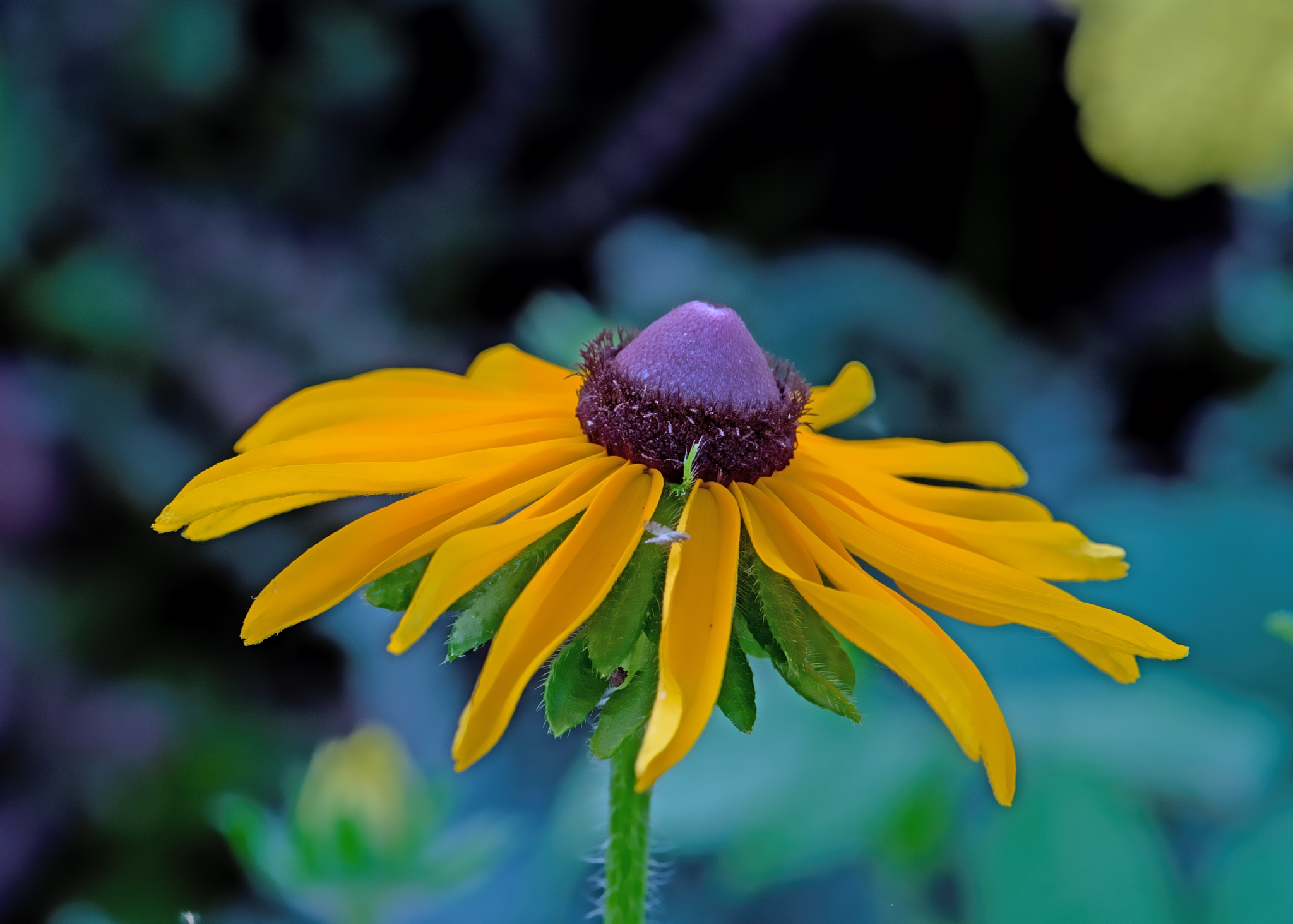 Yellow Rubeckia 0711 by ThomasJerger