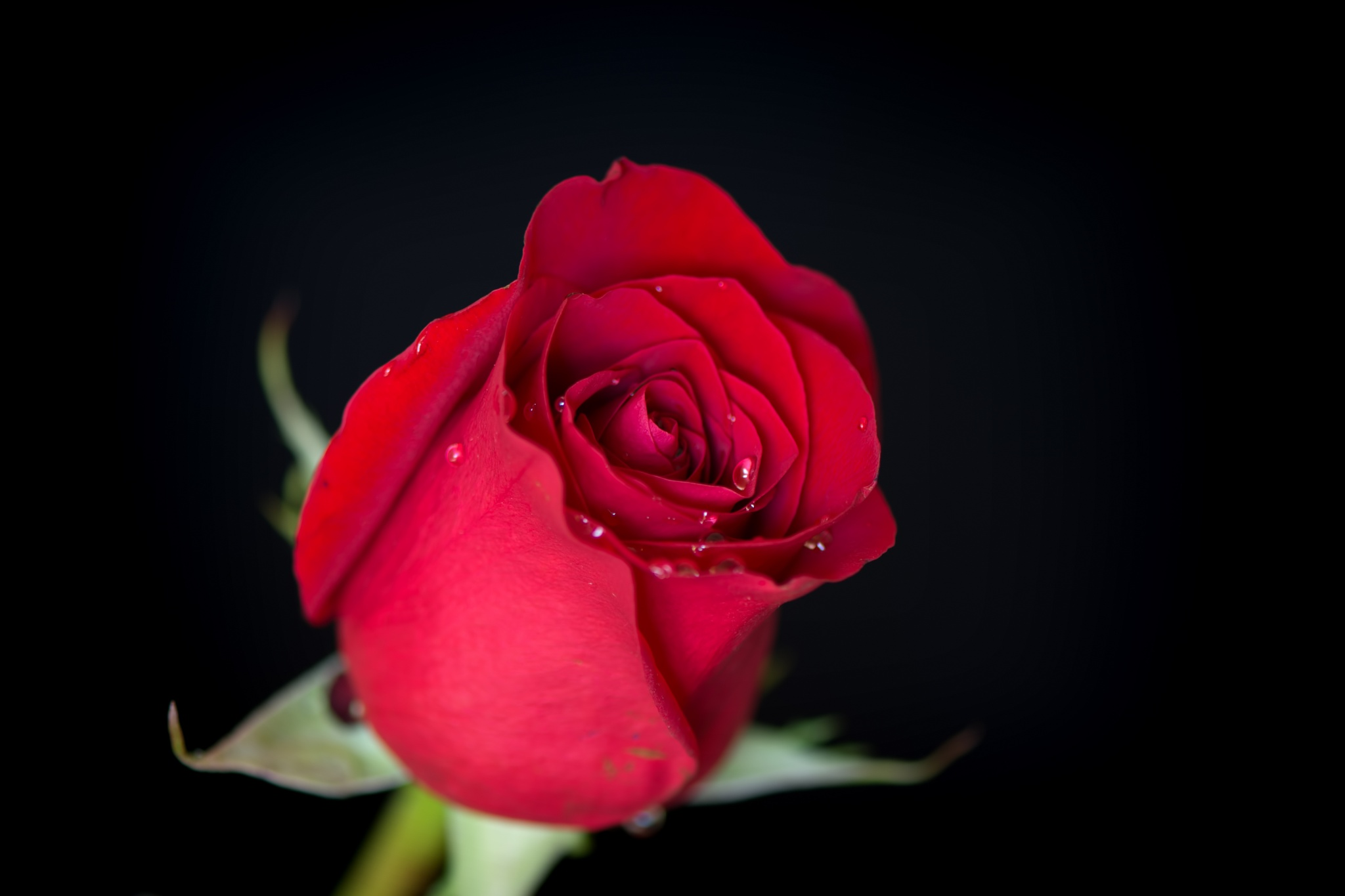 Single Rose with Drops 1123 by ThomasJerger