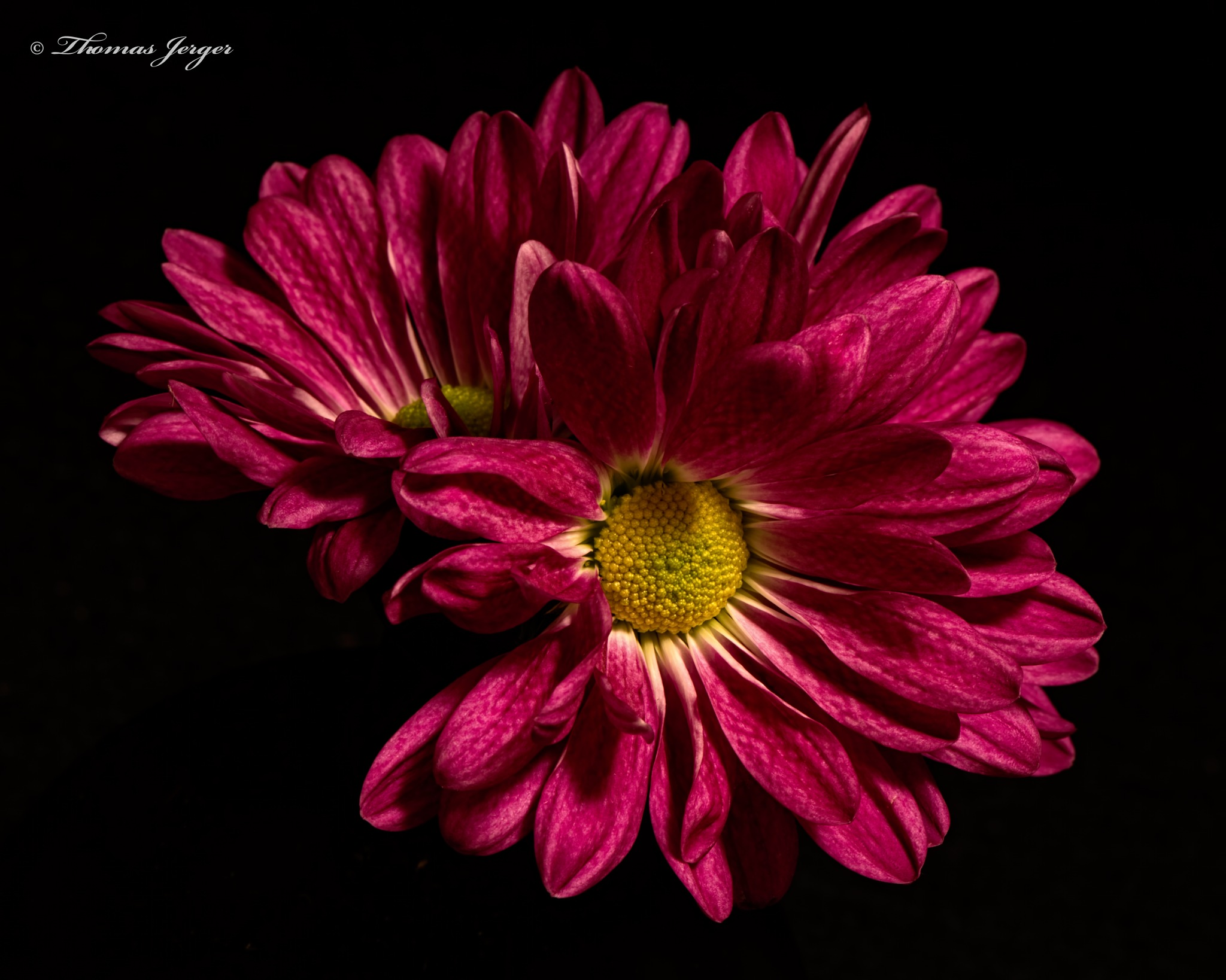 Red Mums 0930 by ThomasJerger
