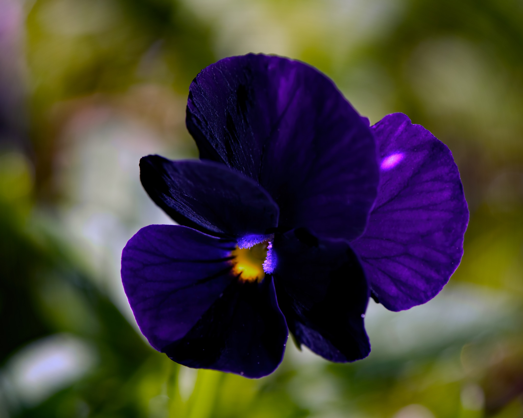 Volunteer Pansy 0525 by ThomasJerger