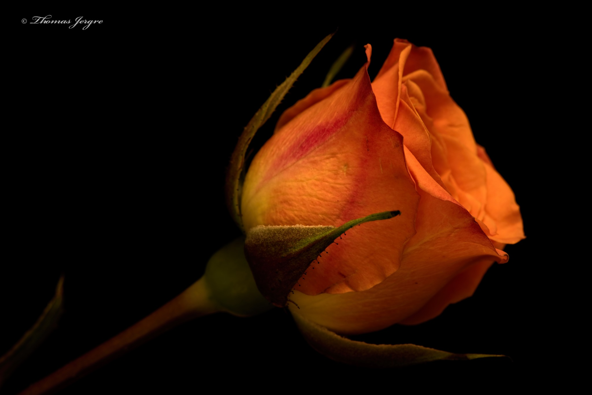 Somber Rose 0923 by ThomasJerger