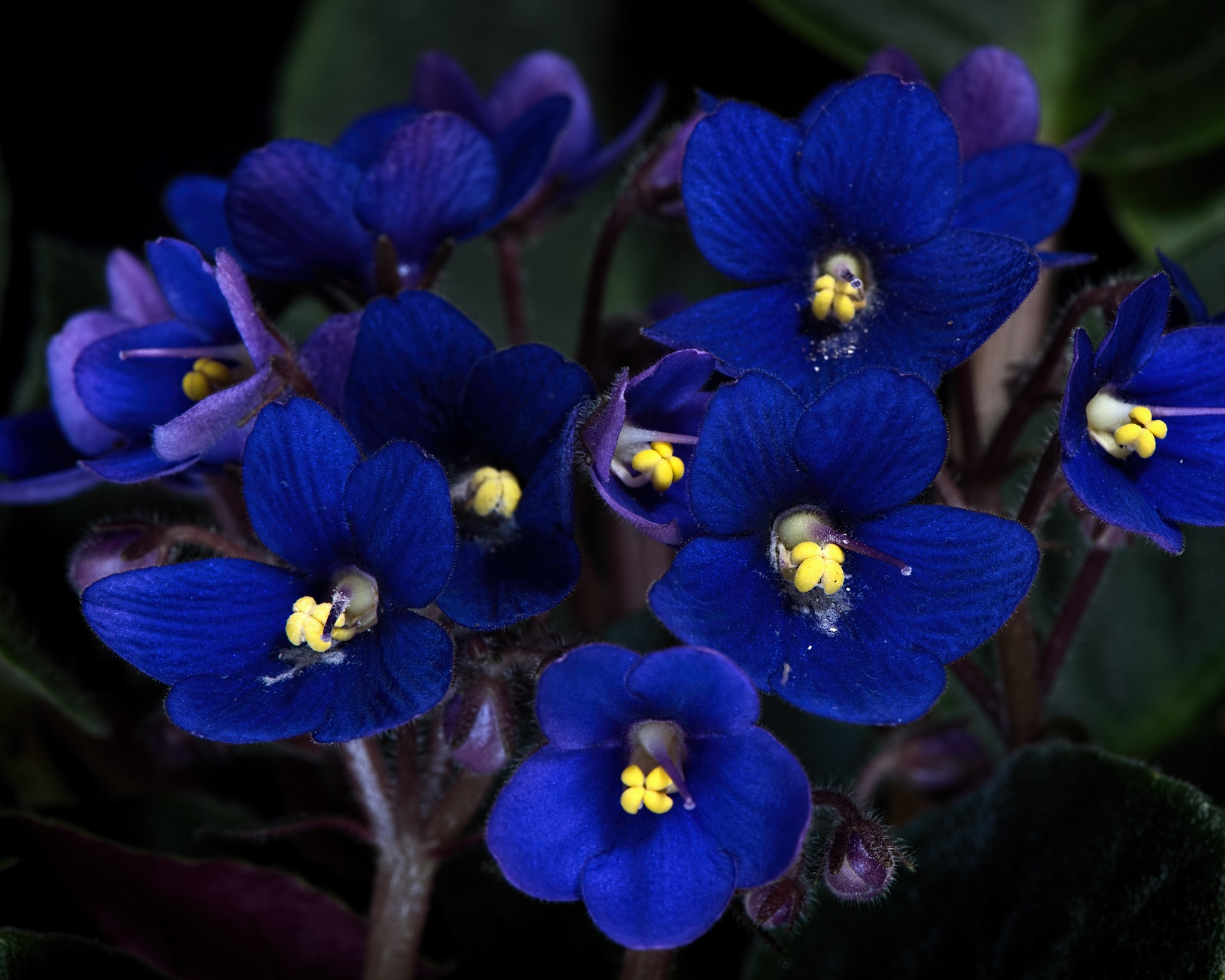African Violets 0603 by ThomasJerger