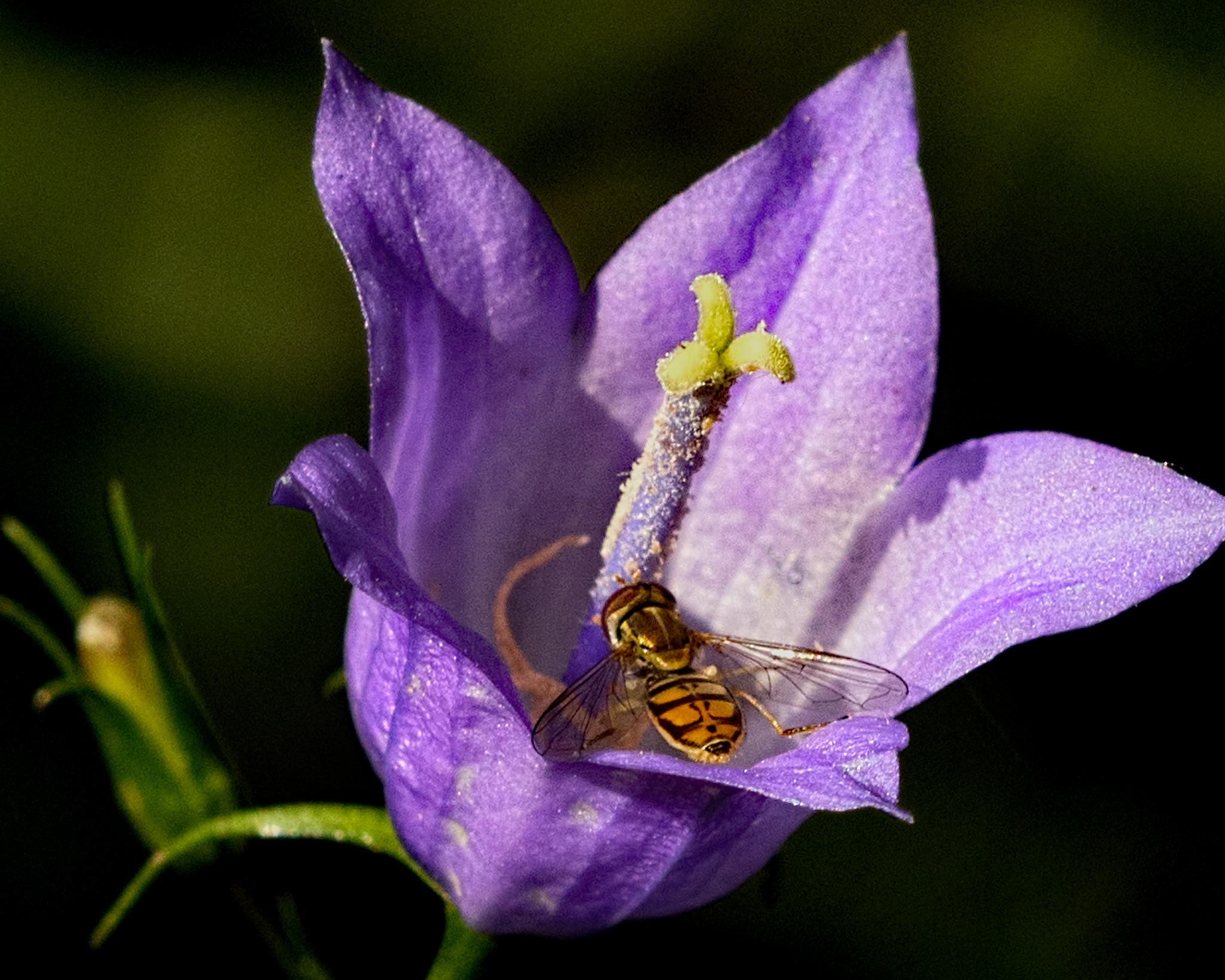 Blue Bell with Visitor 0626 by ThomasJerger