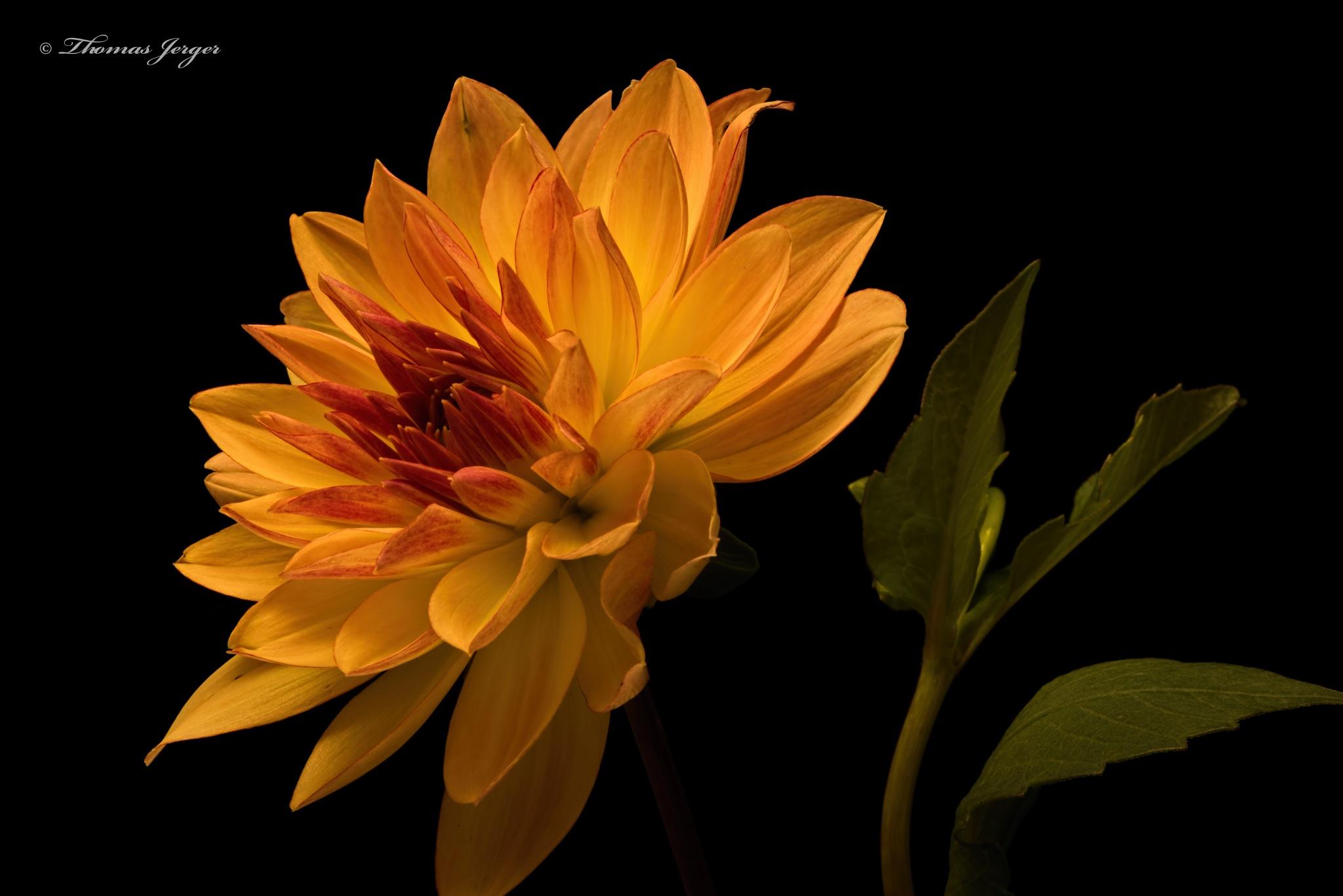 Orange Dahlia 1012 by ThomasJerger