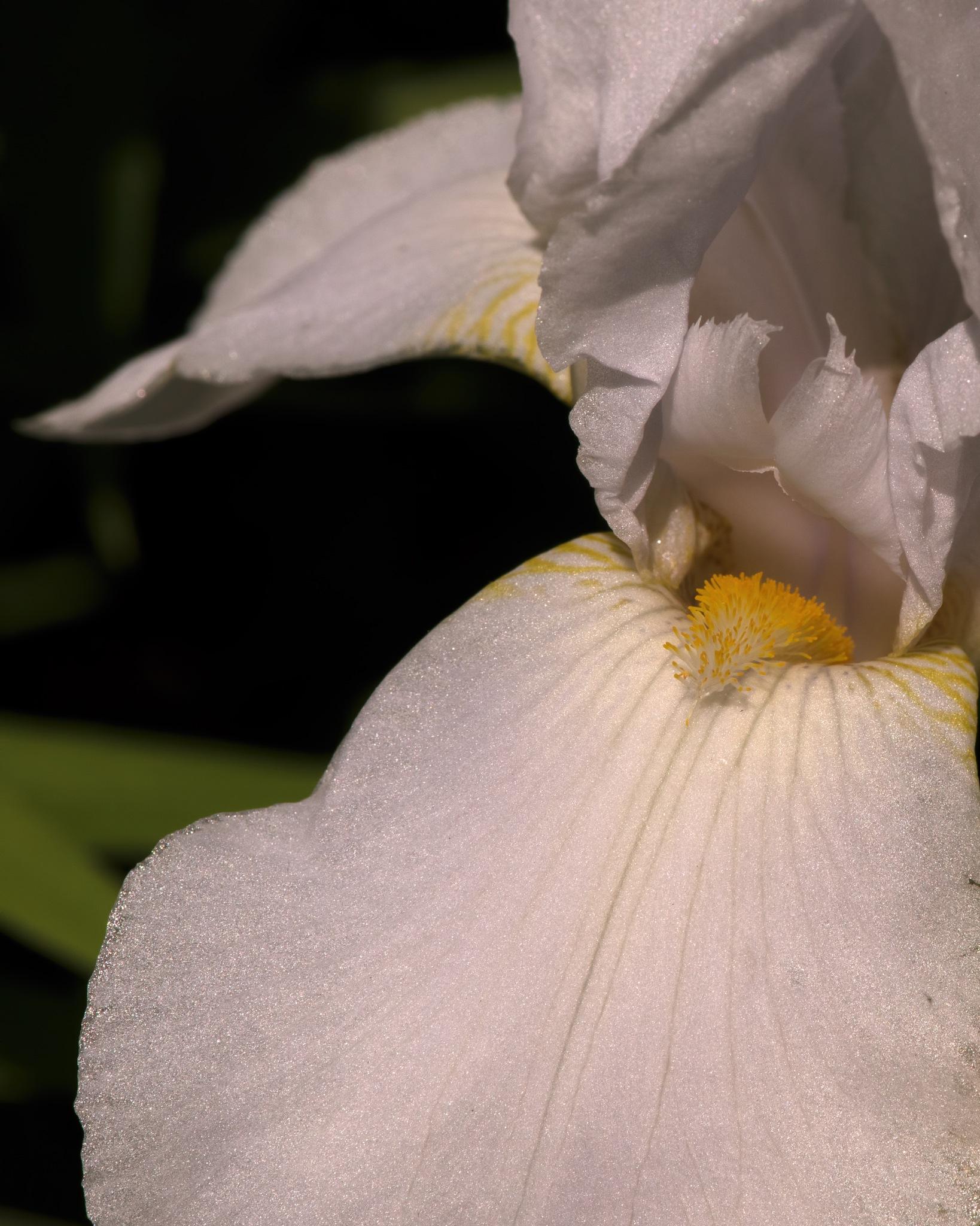 White Iris 0704 by ThomasJerger