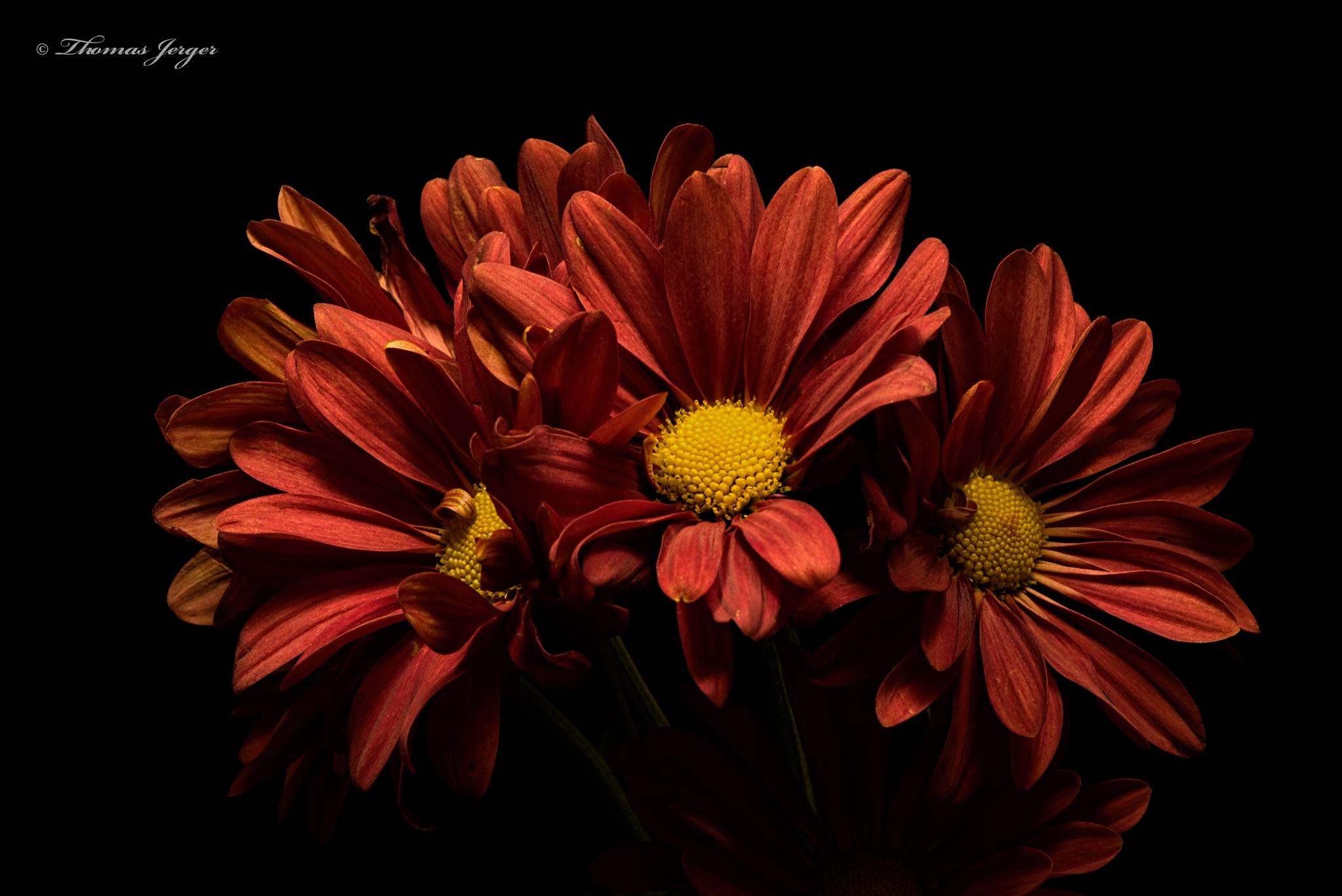 Photo in Nature #flower #daisy #bloom #bunch #group #conspirators #petals #stem #stamen #pistals #plant #nature #flora #portrait #black background #black #brown #yellow #summer #wisconsin