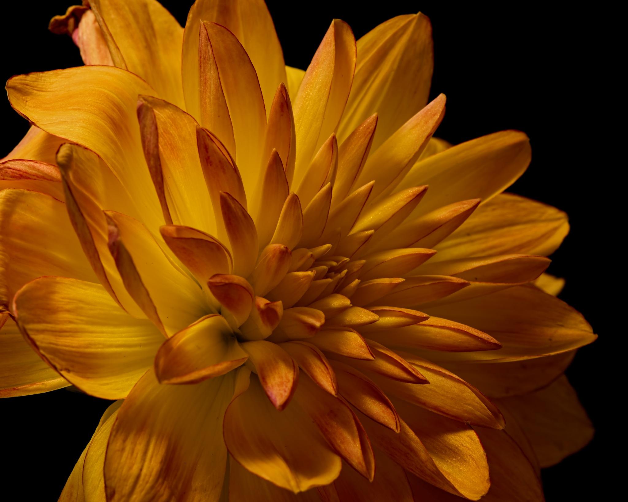 Yellow Fall Dahlia 1021 by ThomasJerger