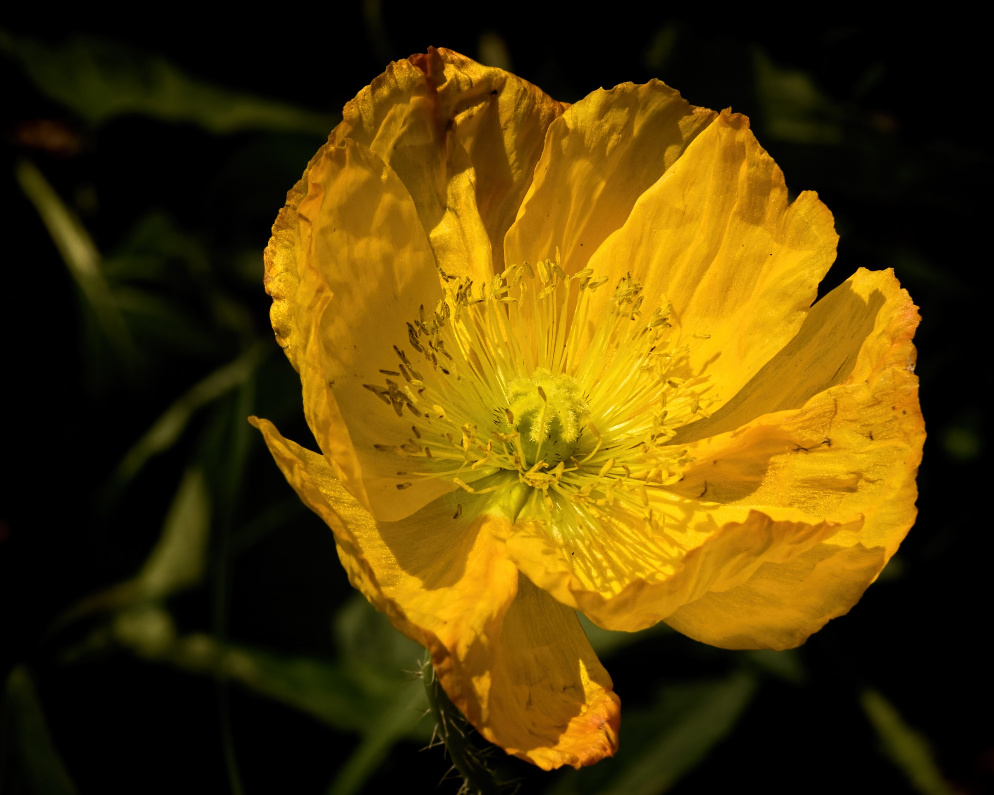 Yellow Poppy 0712 by ThomasJerger