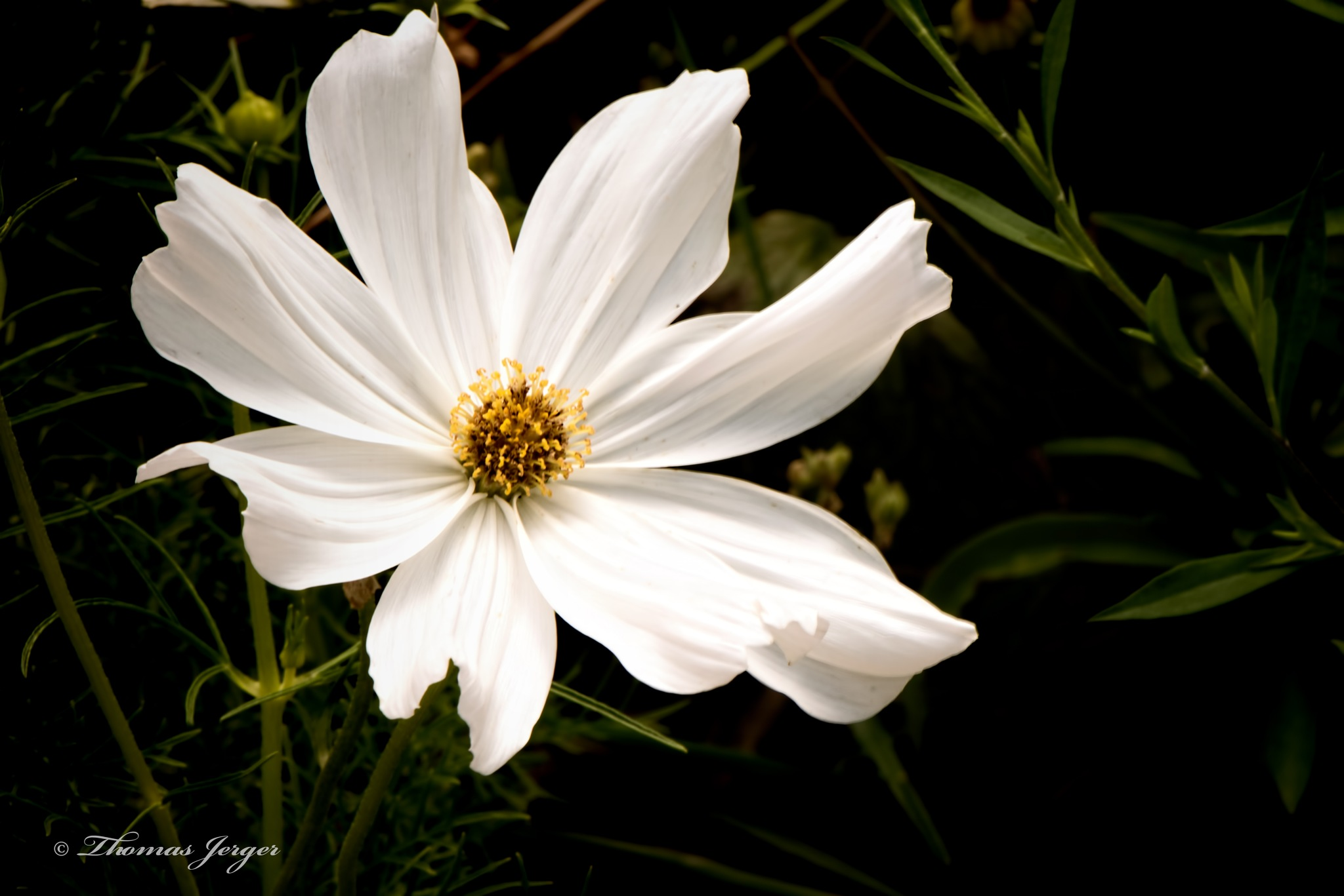White Cosmos 0731 by ThomasJerger