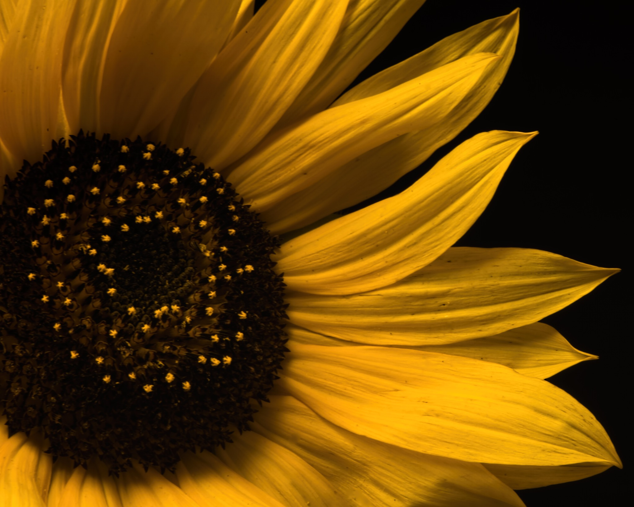 Yellow Sunflower Detail 0802 by ThomasJerger
