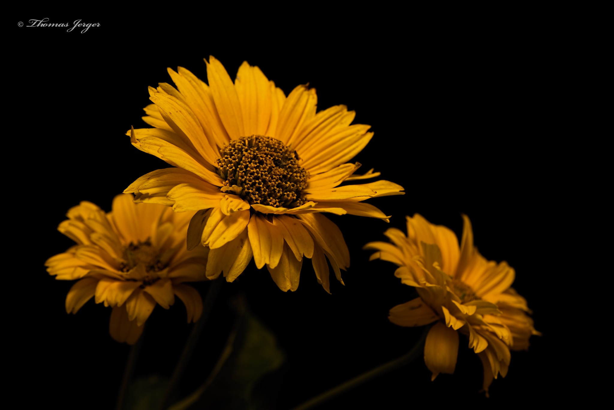 Three Yellow Blooms 0909 by ThomasJerger