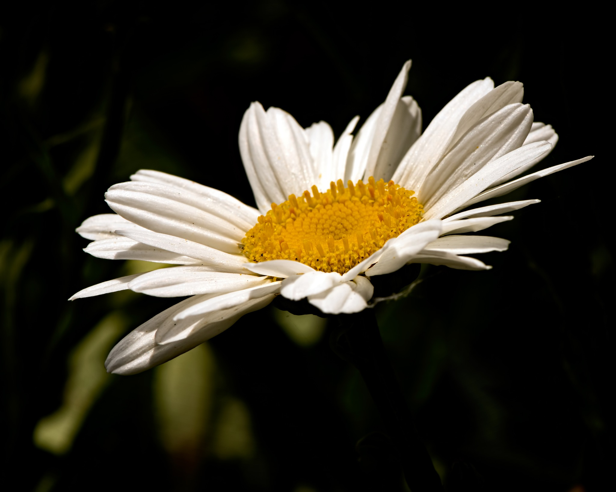 Single Shasta Daisy 0628 by ThomasJerger