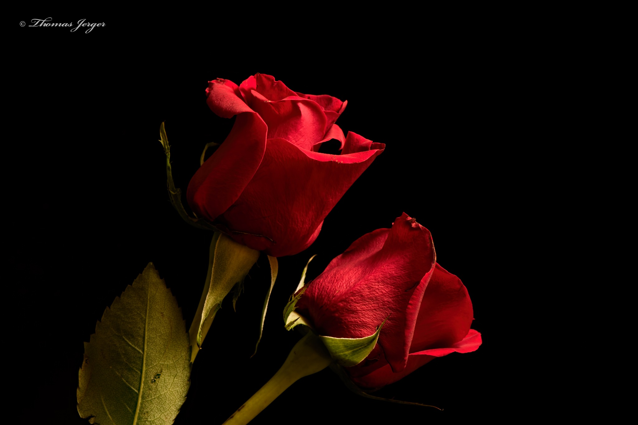 Photo in Macro #rose #pair #two #flower #bloom #petals #stems #plant #nature #flora #black background #portrait #black #leaf #red #green #summer #wisconsin #macro #closeup