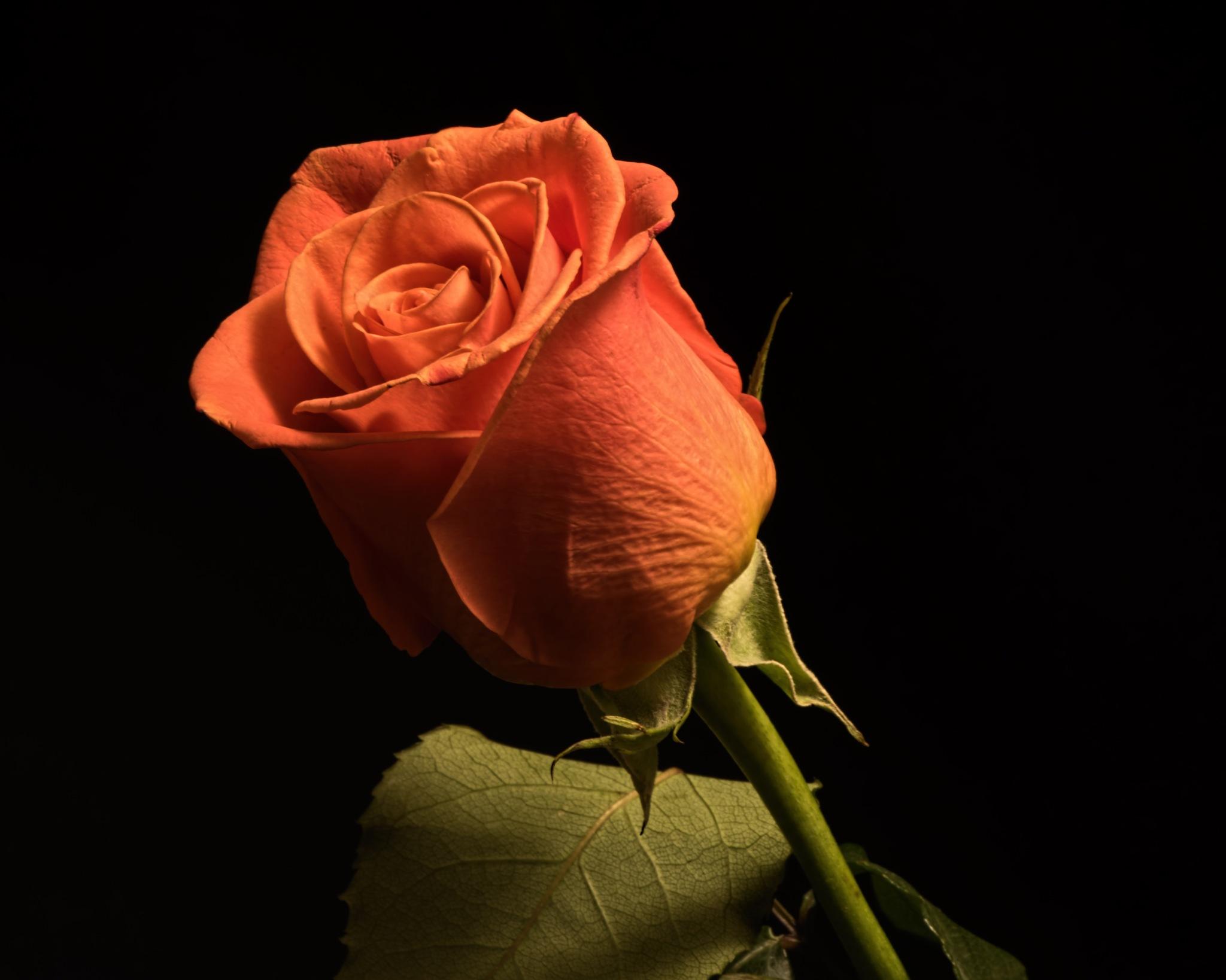 Single Orange Roses 1013 by ThomasJerger