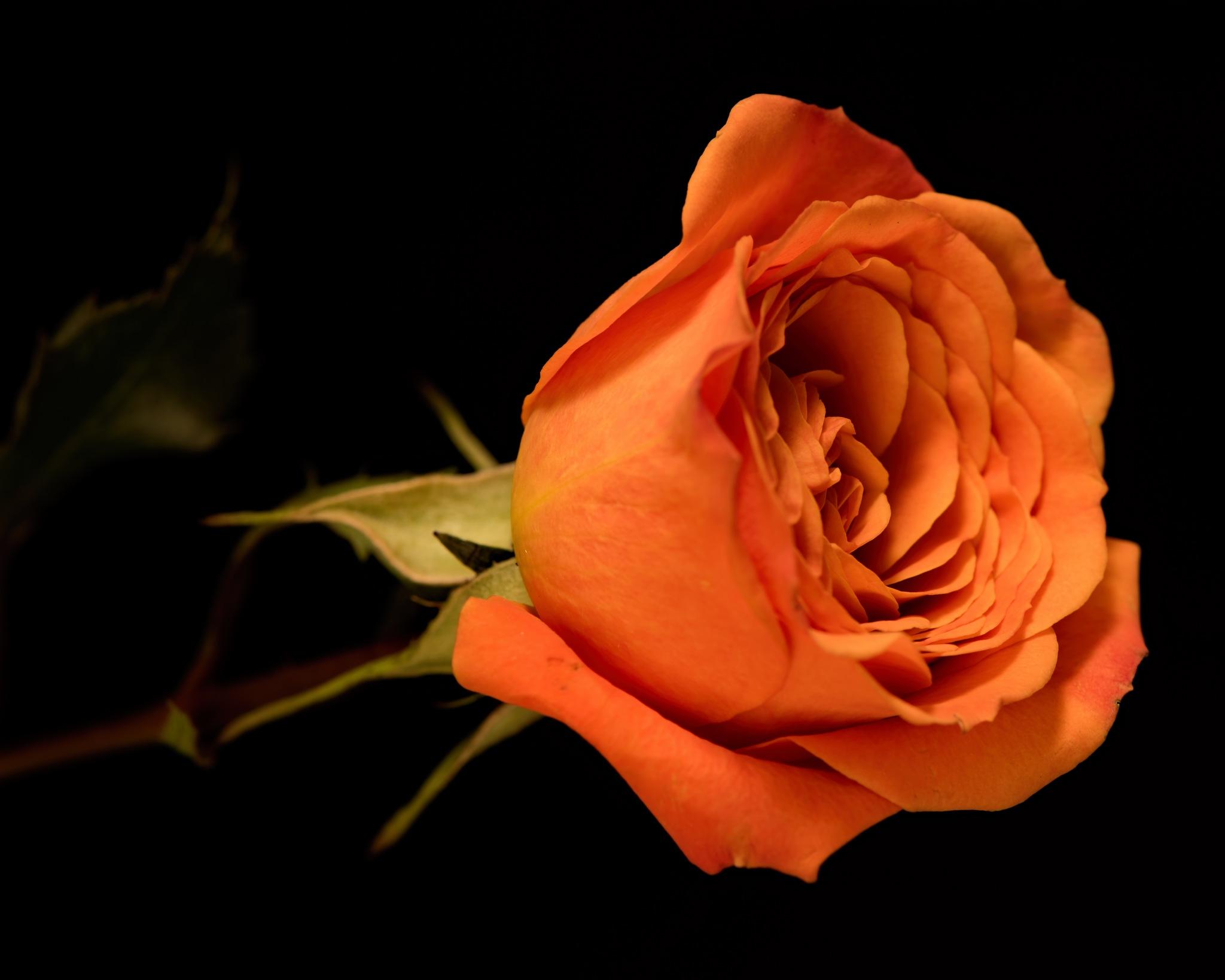Single Orange Rose 1003 by ThomasJerger