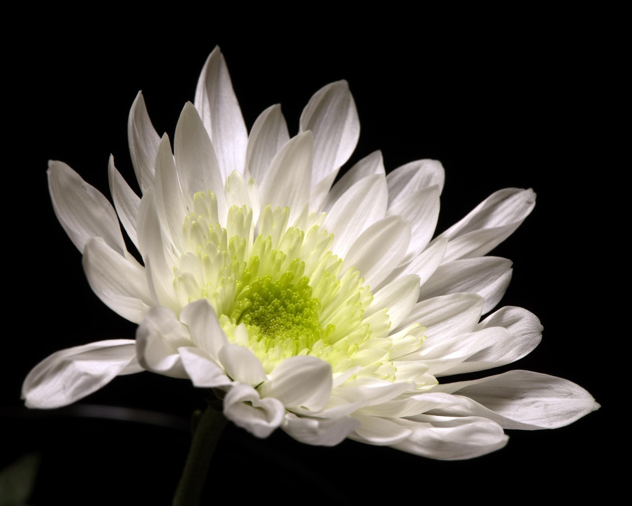 White Mum 0409 by ThomasJerger