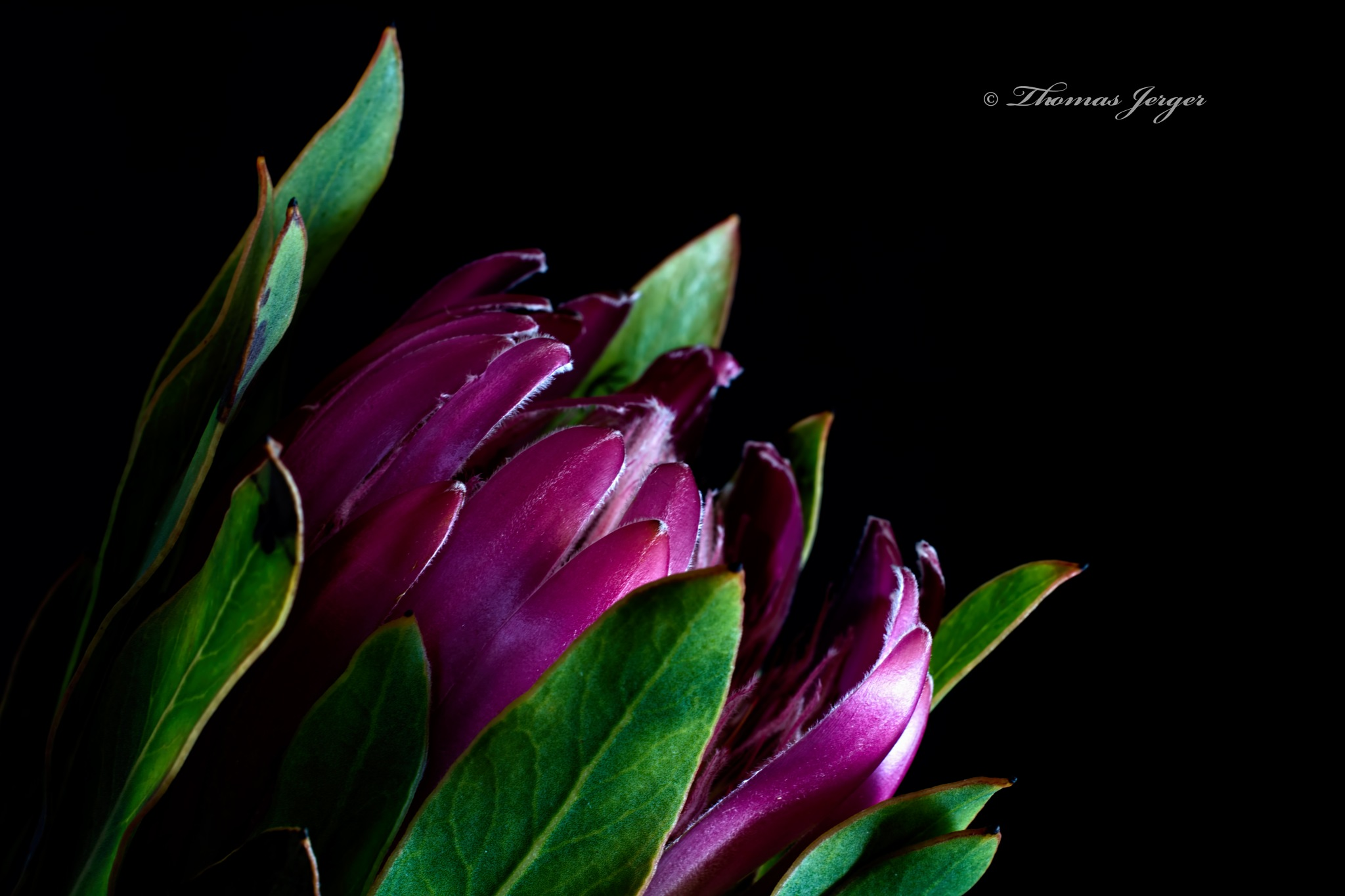 Protea Bloom 0222 by ThomasJerger