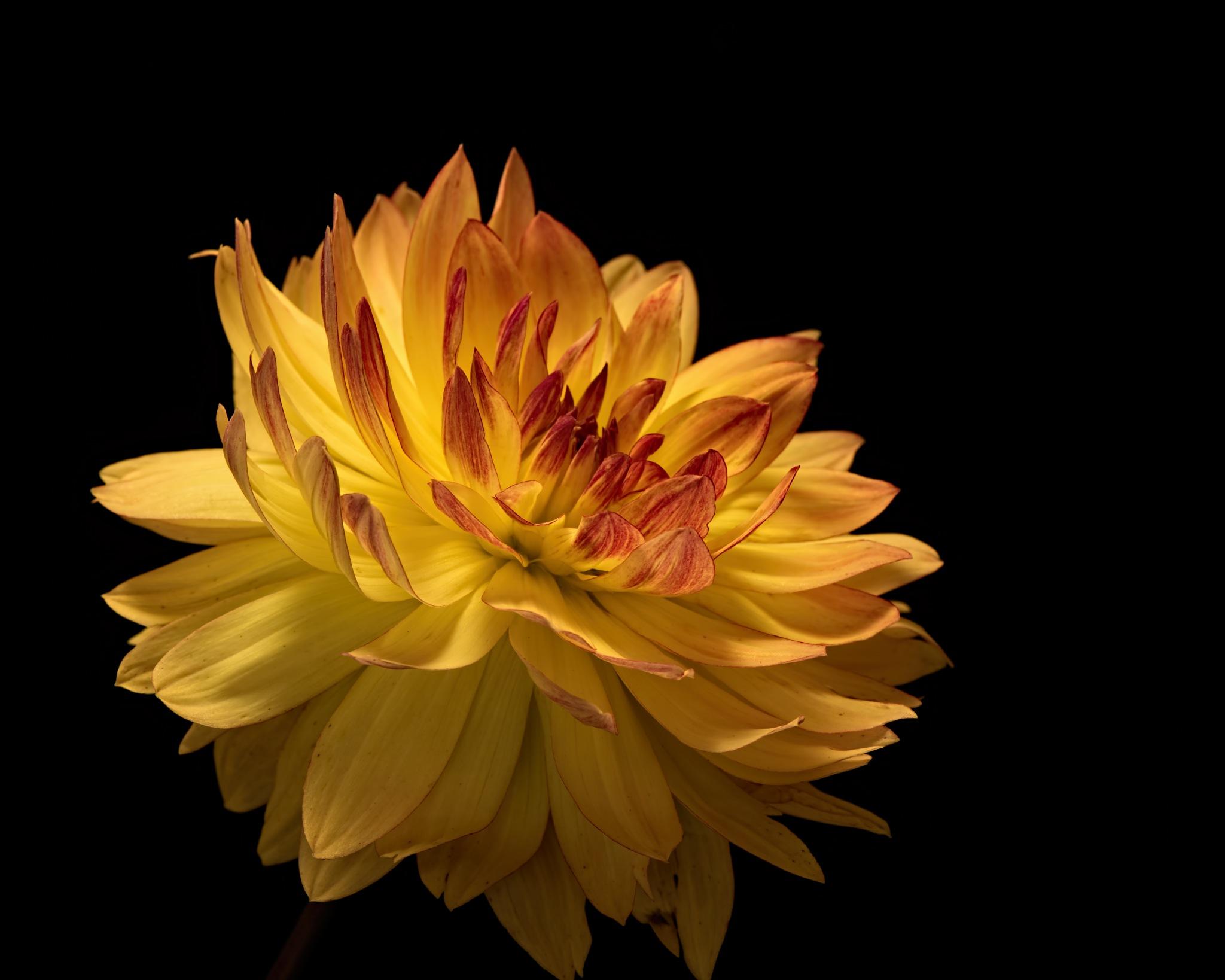 Yellow Dahlia 0820 by ThomasJerger