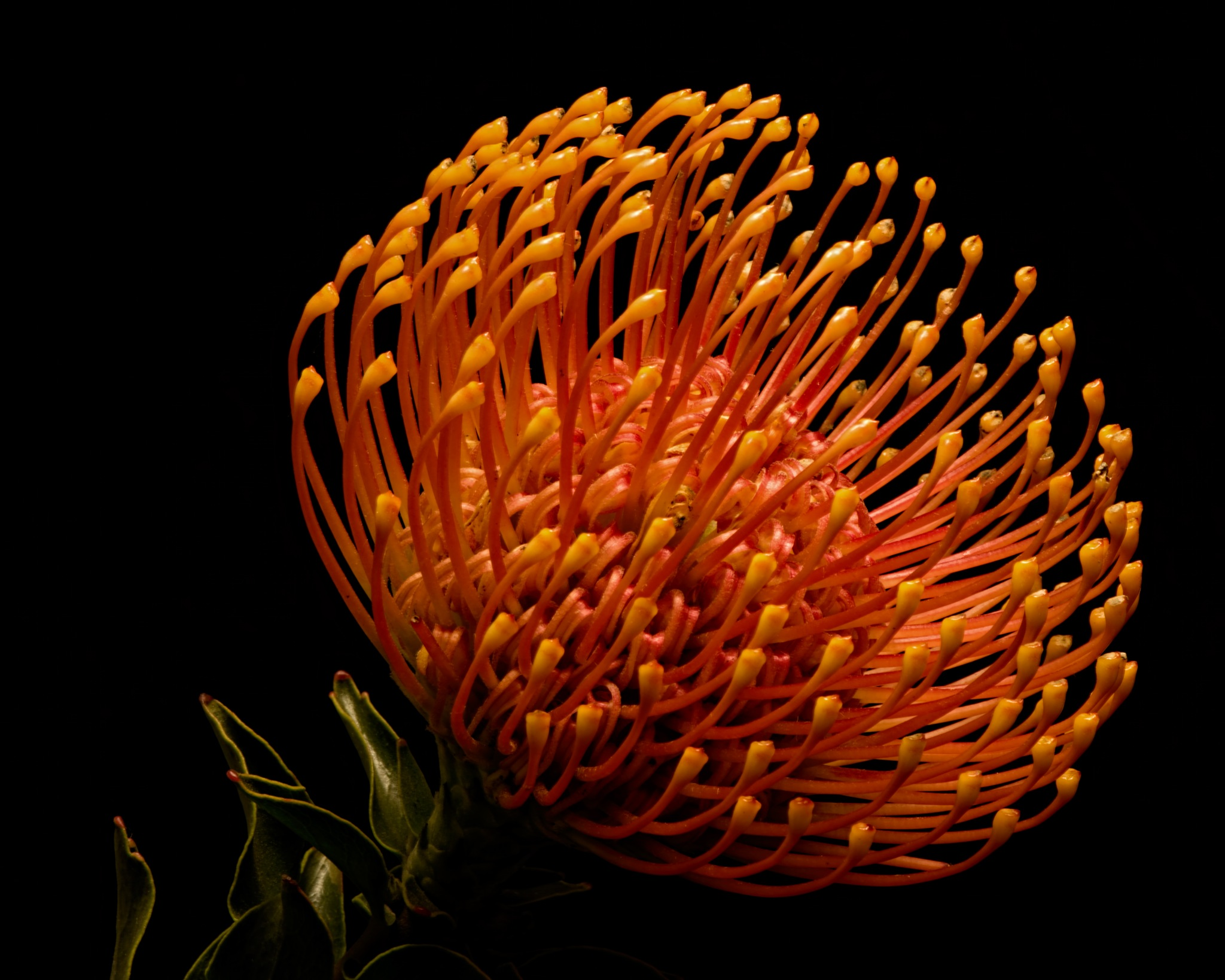Orange Pincushion Protea 0604 by ThomasJerger