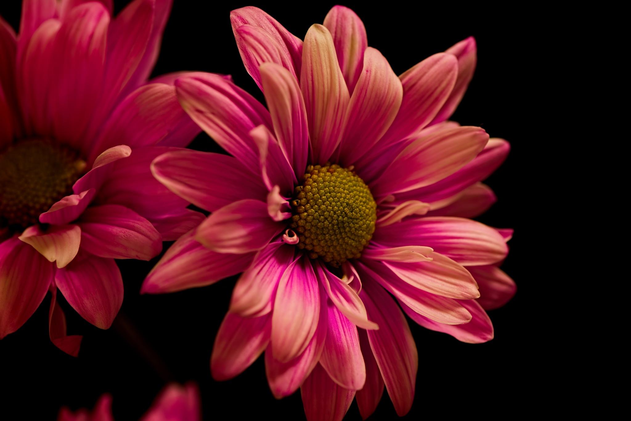 Softly Pink 1110 by ThomasJerger