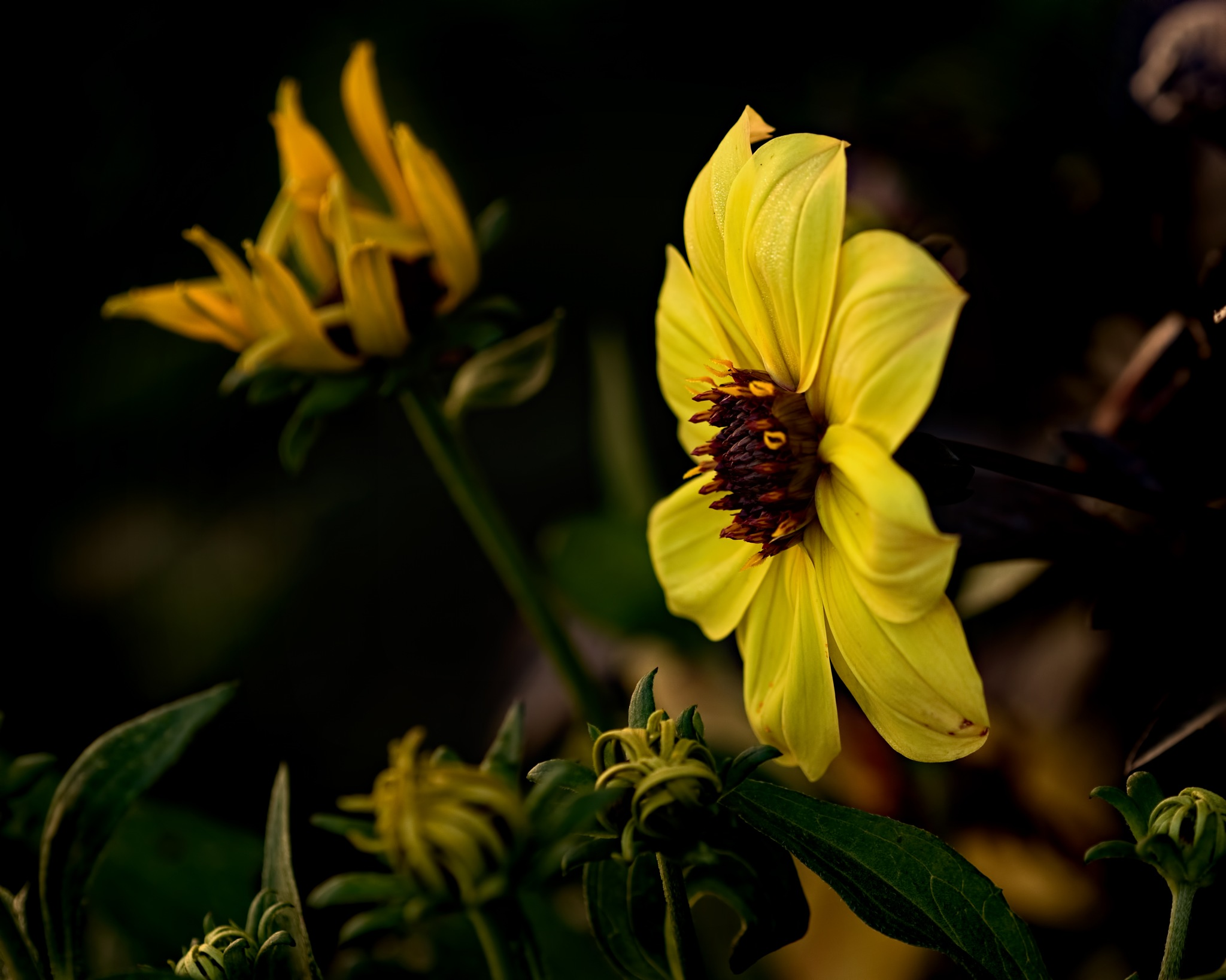 Yellow Dahlia in the Garden 0710 by ThomasJerger