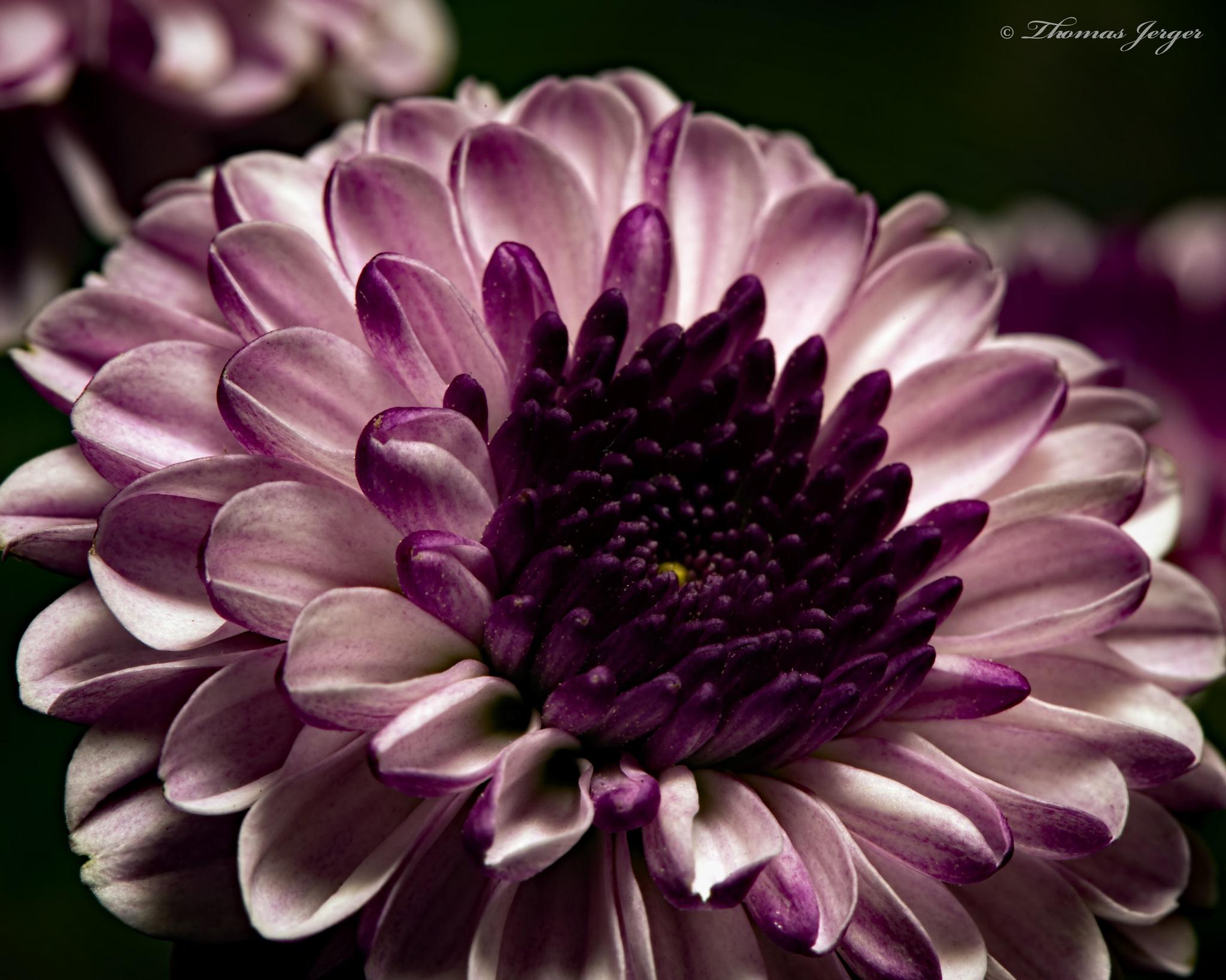 Purple Mum 0204 by ThomasJerger