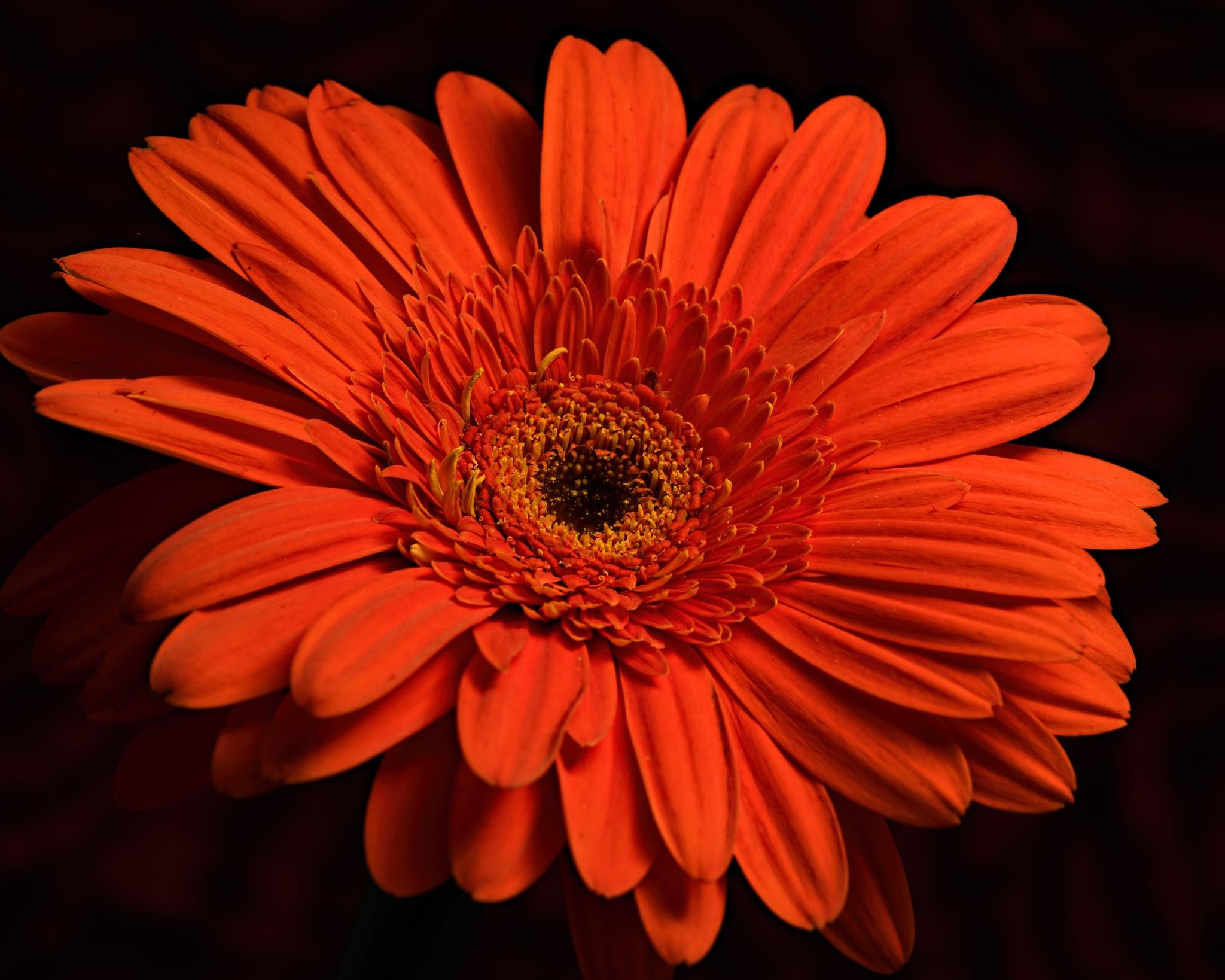 Orange Gerbera Daisy 1023 by ThomasJerger
