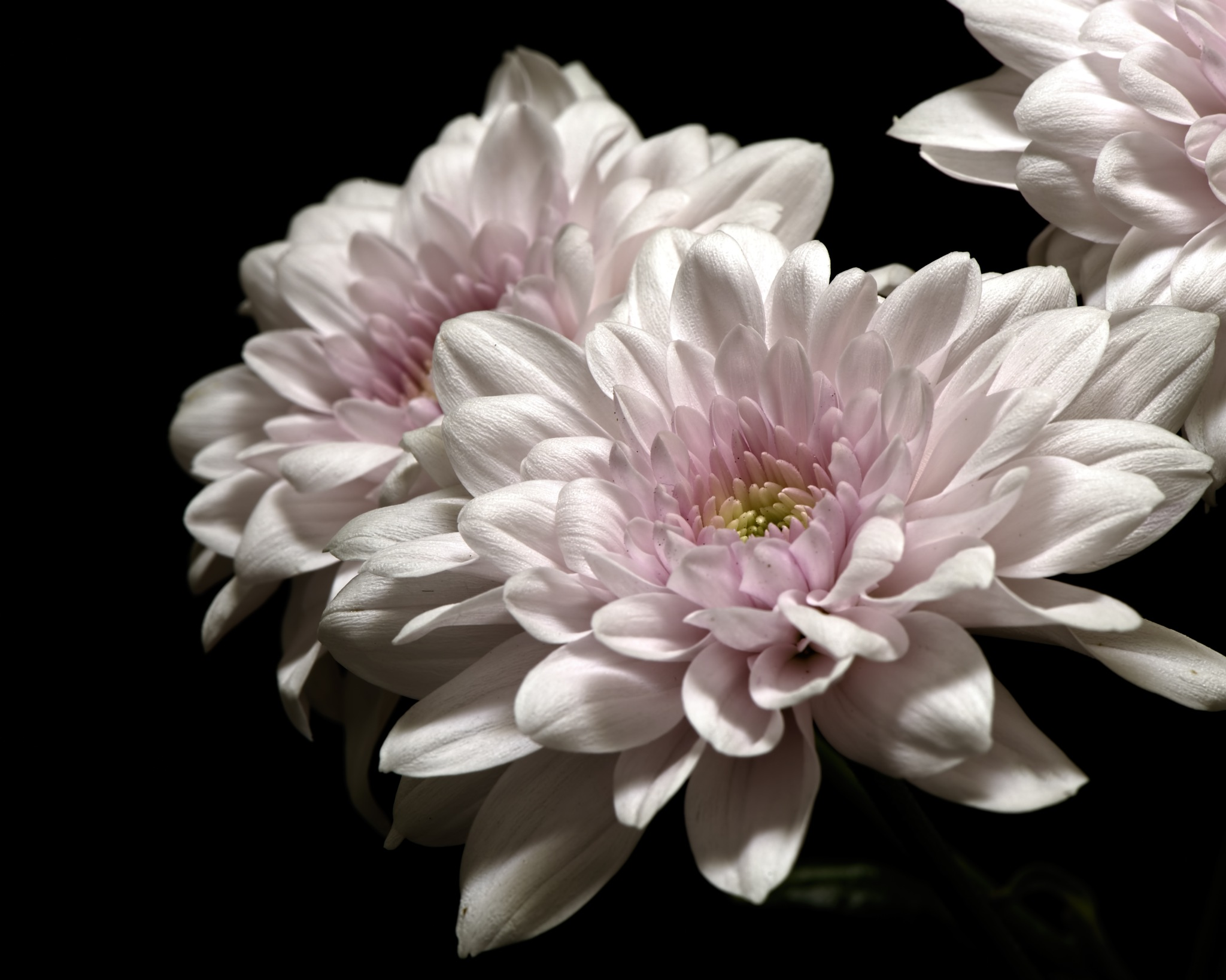 Pink Mum 0805 by ThomasJerger