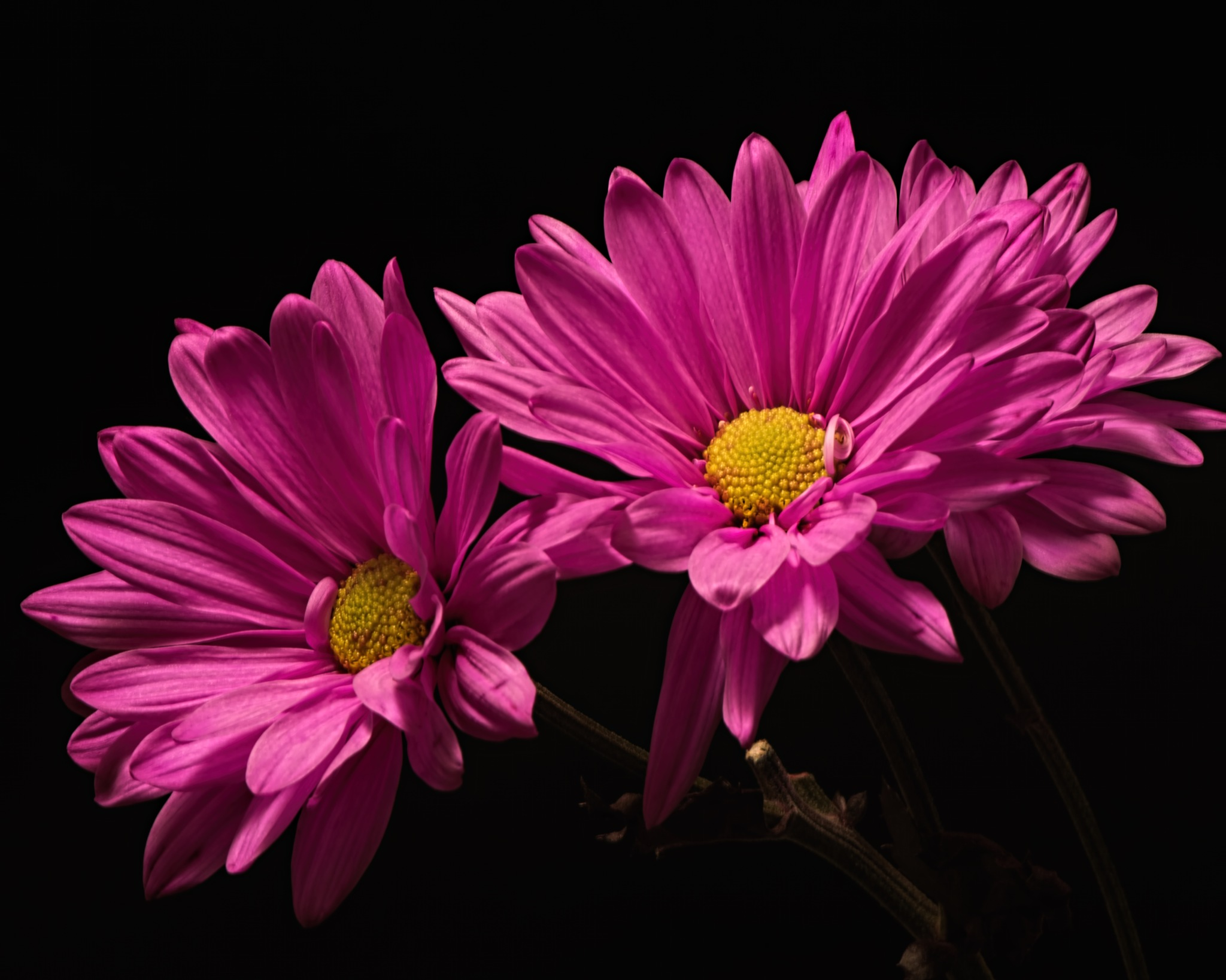 Pink Daisy Pair 0328 by ThomasJerger