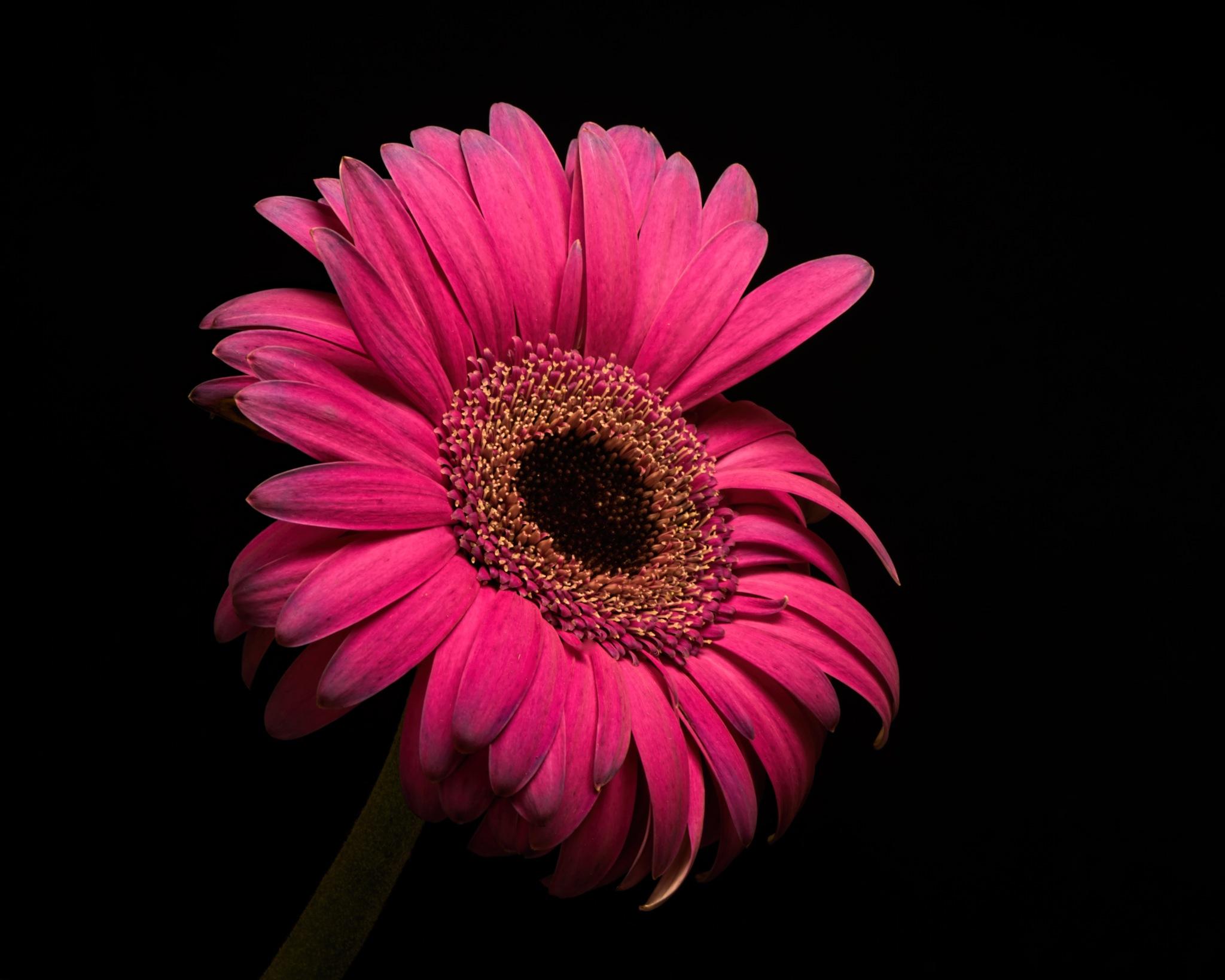 Single Pink Gerbera Daisy 0806 by ThomasJerger