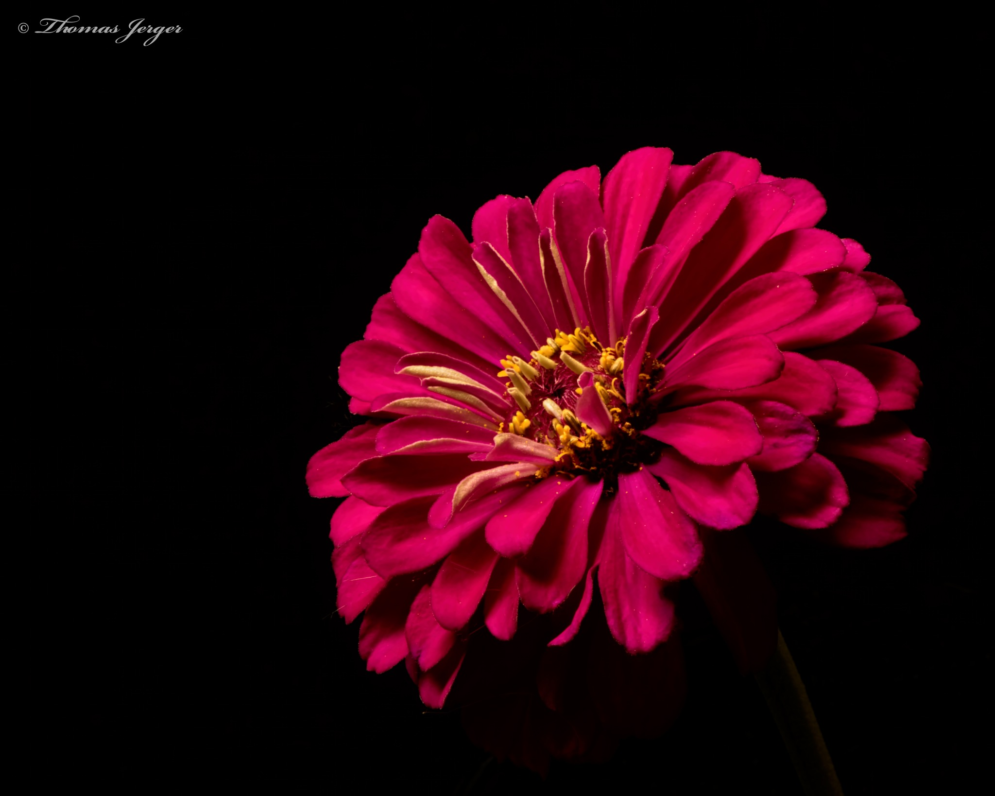 Pink Zinnia 0807 by ThomasJerger