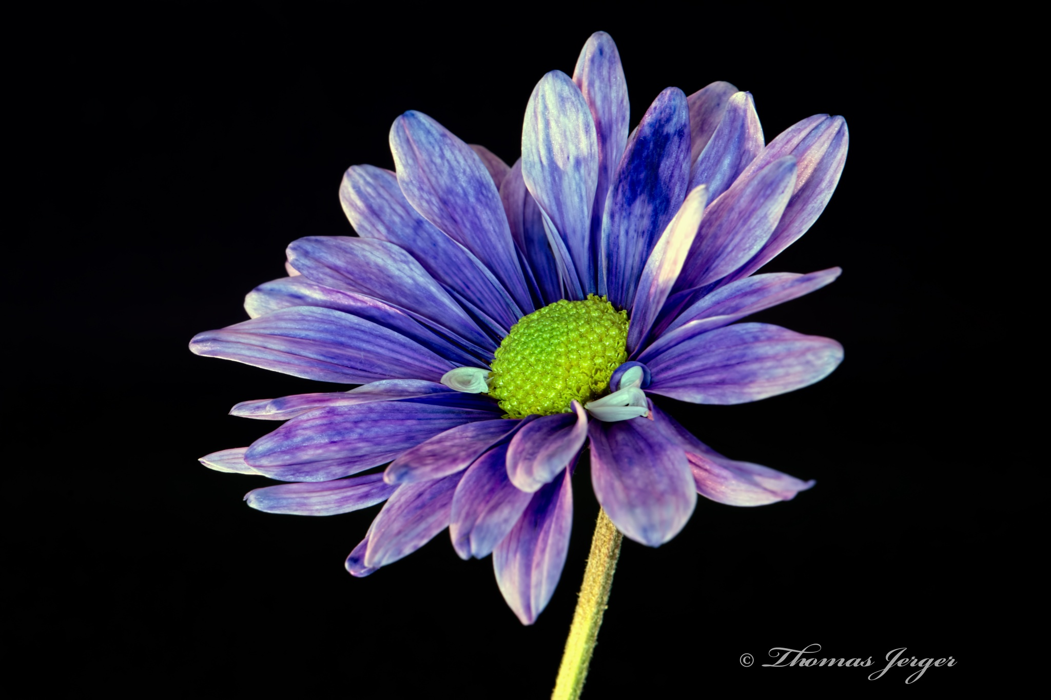 Purple Daisy on Black 1118 by ThomasJerger