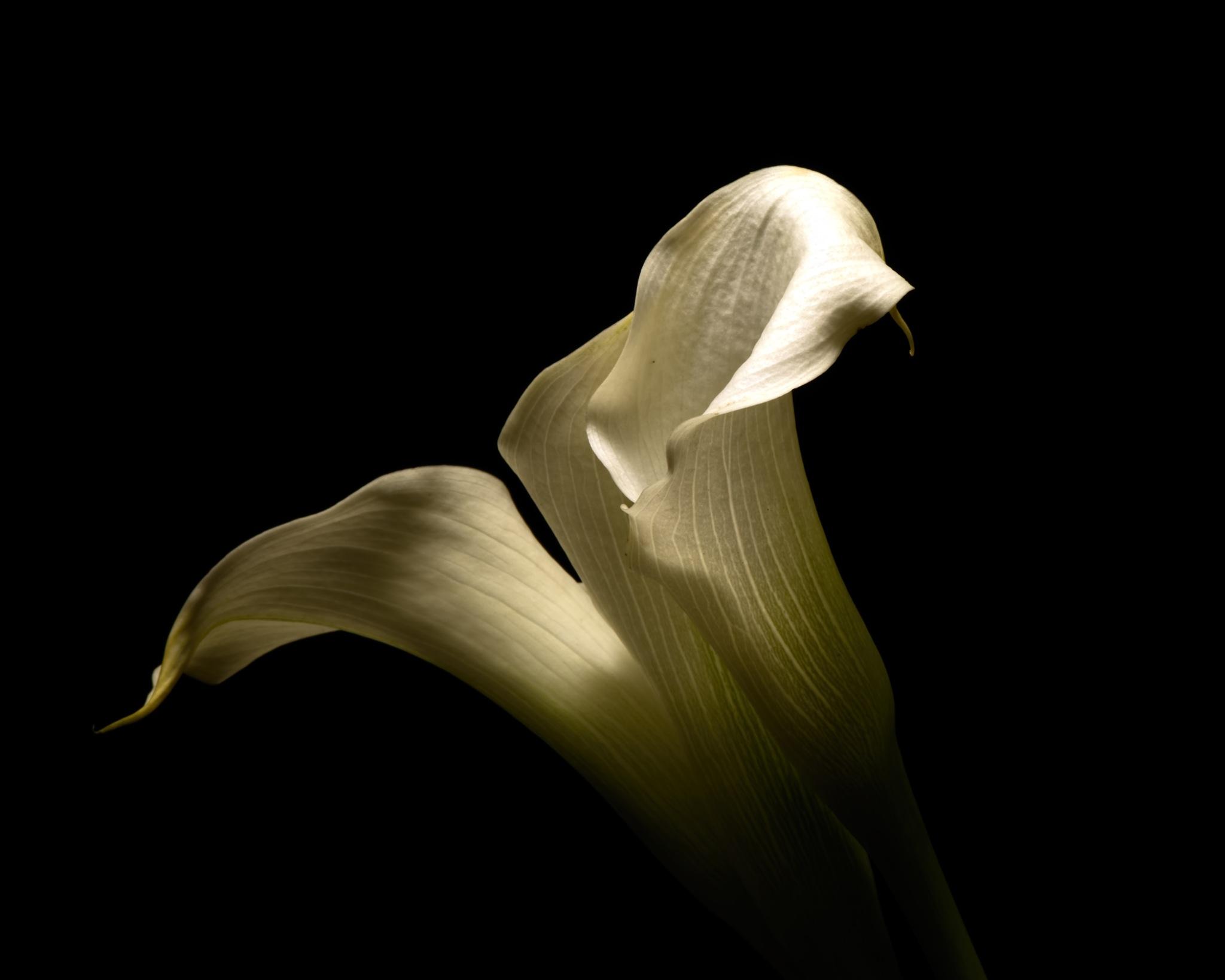 White Cala Lillies 1224 by ThomasJerger
