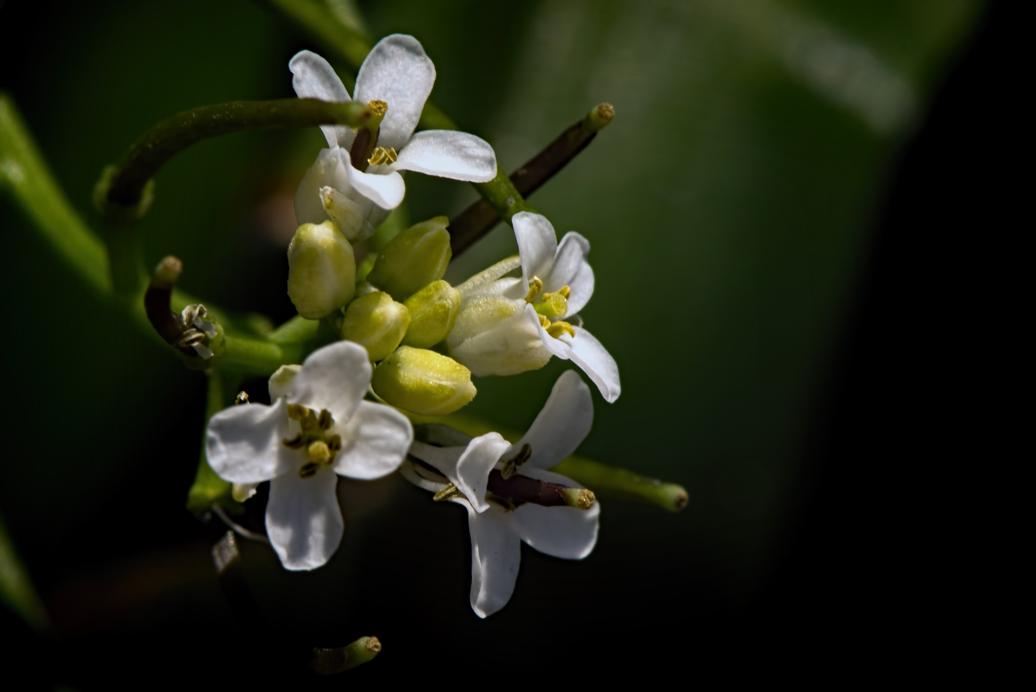 Small White Wildflower in the Garden 0524 by ThomasJerger