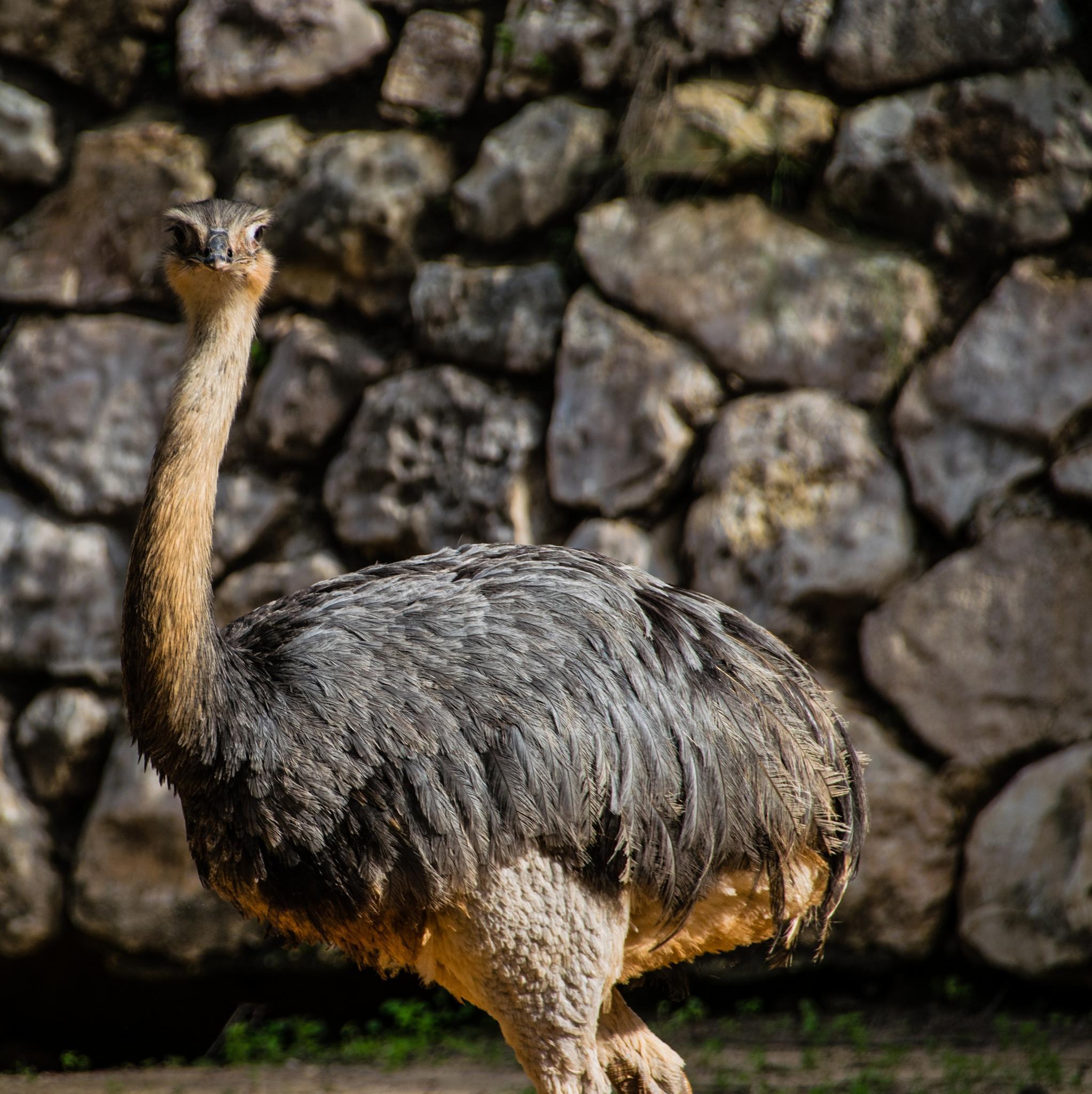 Masquerading Ostrich by Ilia Lotosh