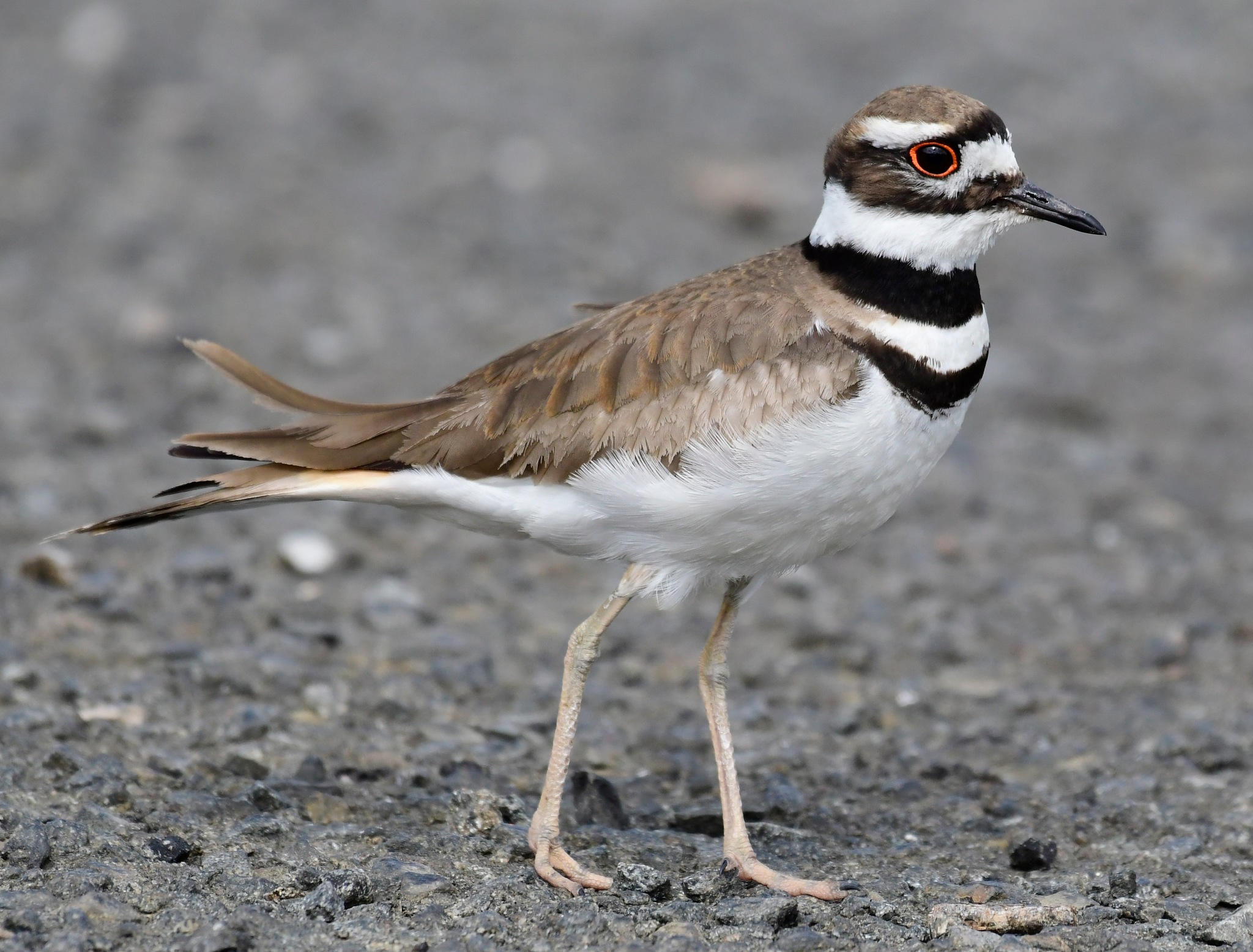 Hey there good looking, they call me Killdeer by Tommy Slane