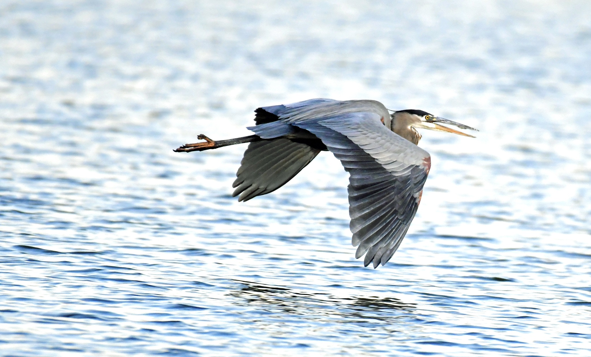 Flying Low Great Blue Heron by Tommy Slane